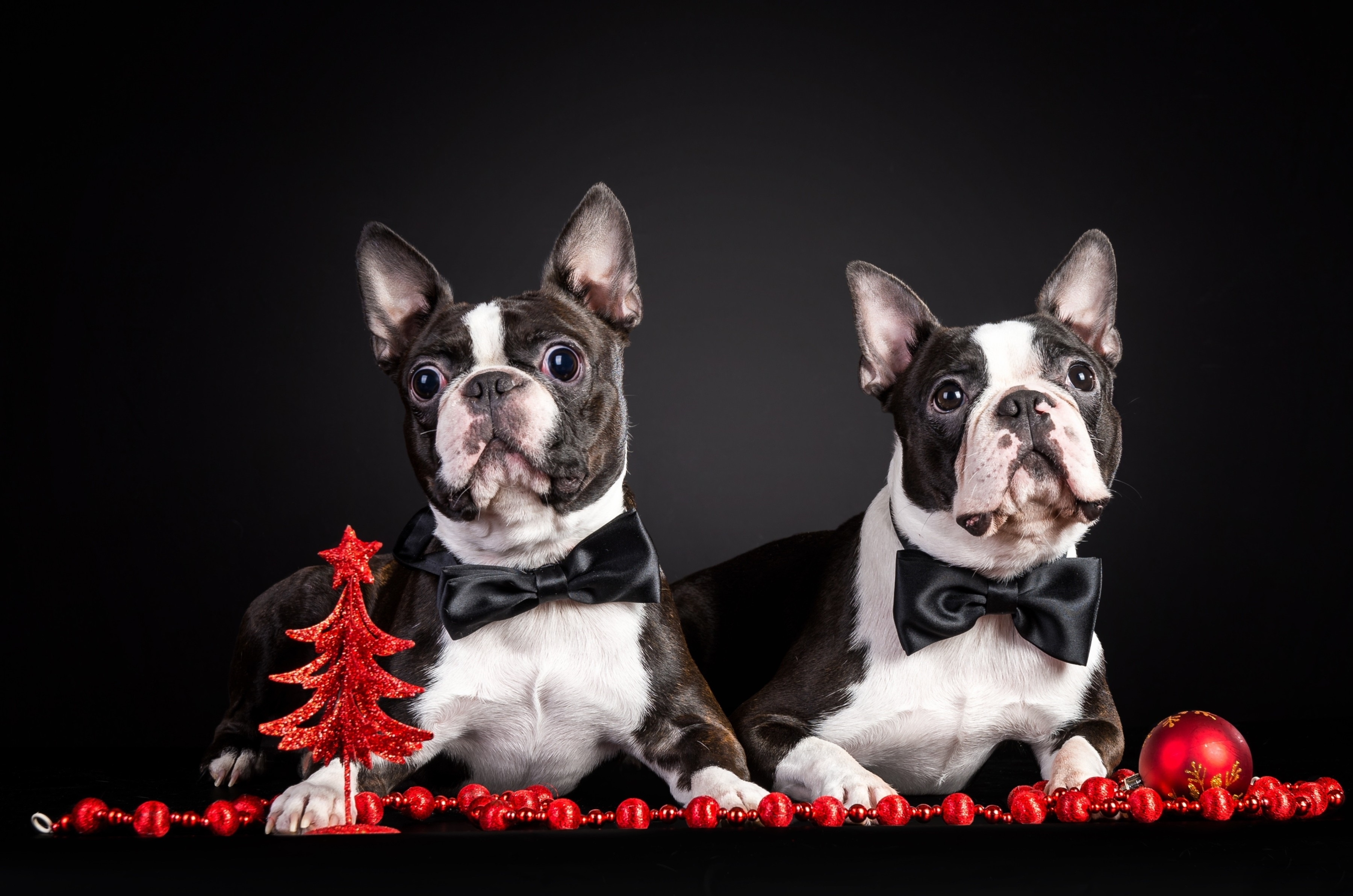 58545 download wallpaper Animals, Dogs, Couple, Pair, Puppies, Outfit, Attire, French Bulldog screensavers and pictures for free