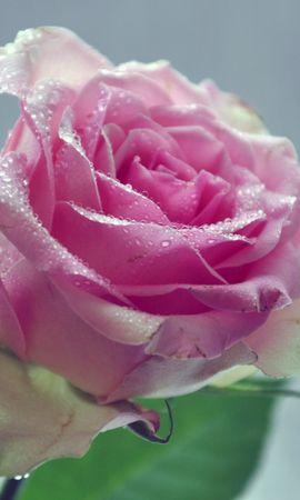 19554 baixar papel de parede Plantas, Flores, Rosas - protetores de tela e imagens gratuitamente