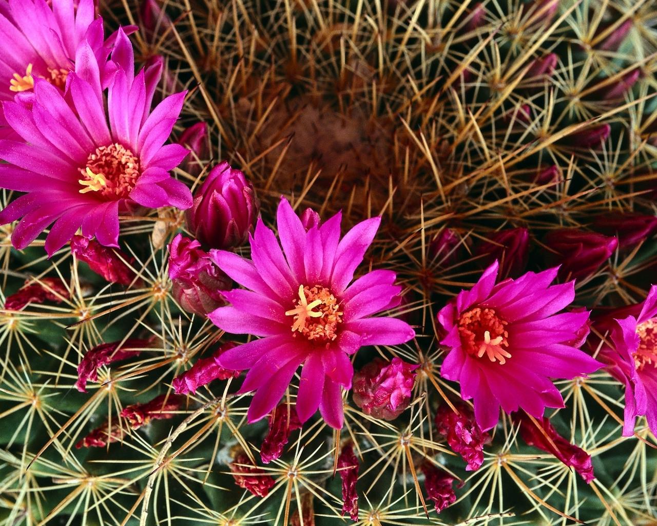 3194 скачать обои Растения, Кактусы, Цветы - заставки и картинки бесплатно