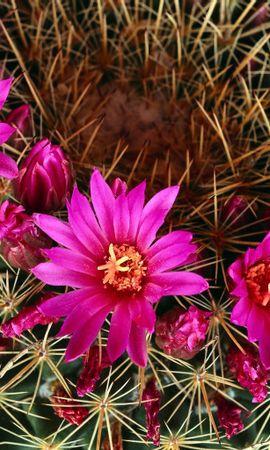 3194 descargar fondo de pantalla Plantas, Cactus, Flores: protectores de pantalla e imágenes gratis