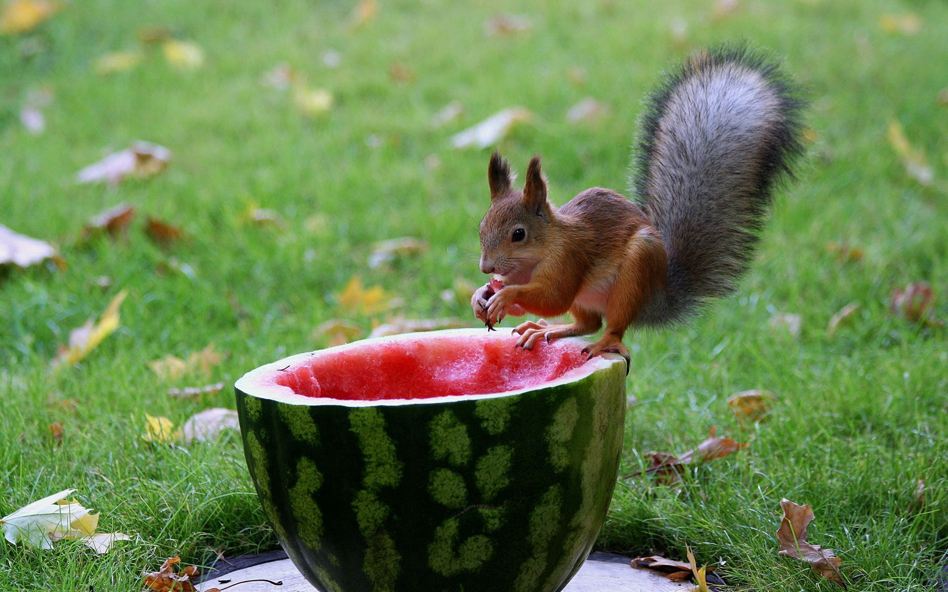 149538 download wallpaper Animals, Squirrel, Watermelon, Grass, Leaves, Autumn, Food screensavers and pictures for free