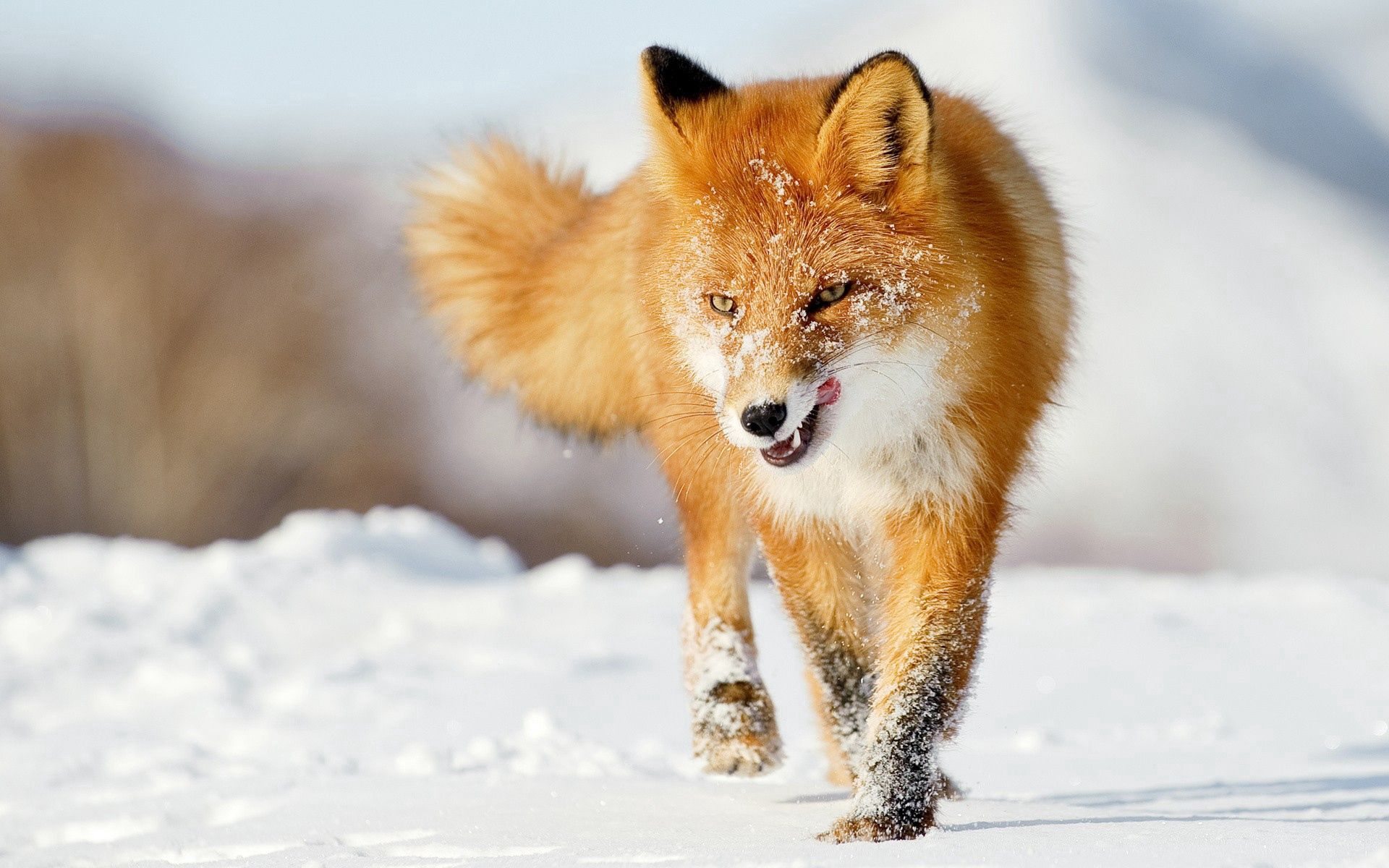 71212 download wallpaper Animals, Fox, Snow, Run Away, Run, Winter screensavers and pictures for free