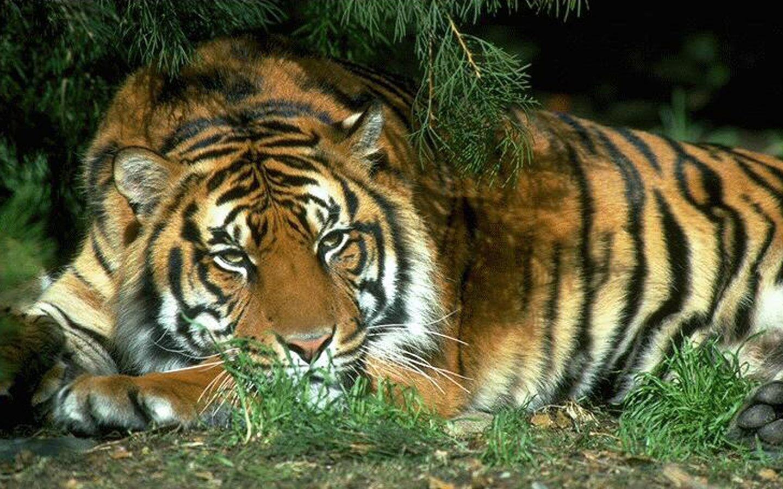 49686 скачать обои Животные, Тигры - заставки и картинки бесплатно