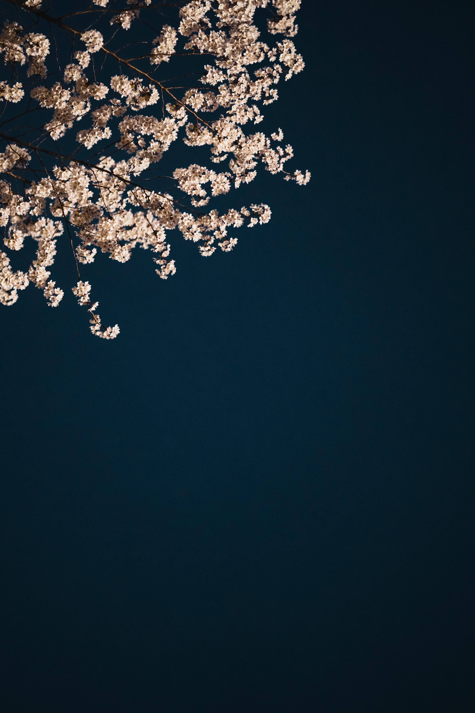 150688 Заставки и Обои Сакура на телефон. Скачать Эстетика, Сакура, Цветы, Минимализм, Ветки картинки бесплатно