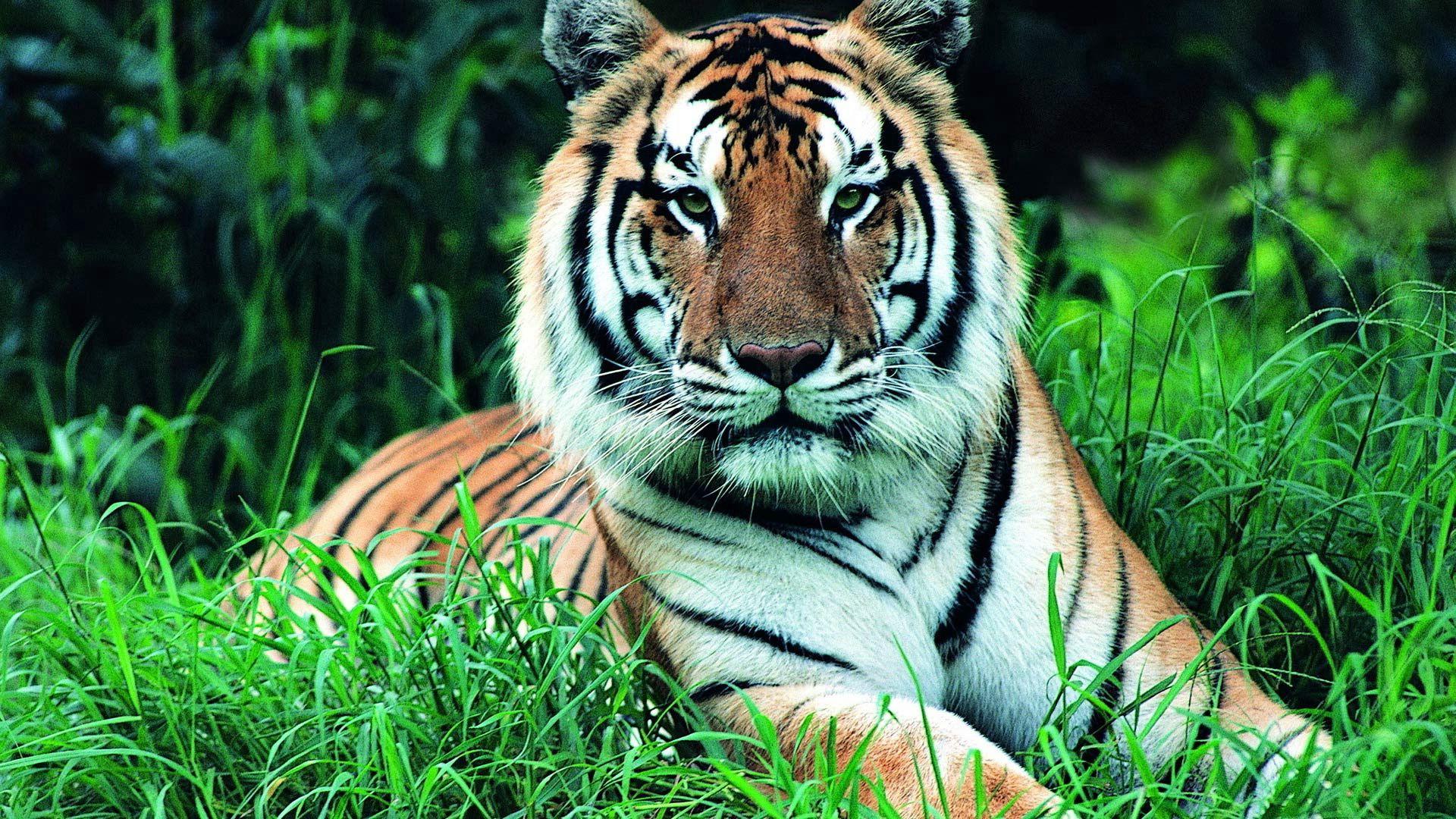 60107 скачать обои Животные, Трава, Зелень, Морда, Тигр, Стебли - заставки и картинки бесплатно