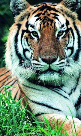 60107 免費下載壁紙 动物, 草, 青菜, 枪口, 莫尔达, 老虎, 虎, 茎 屏保和圖片