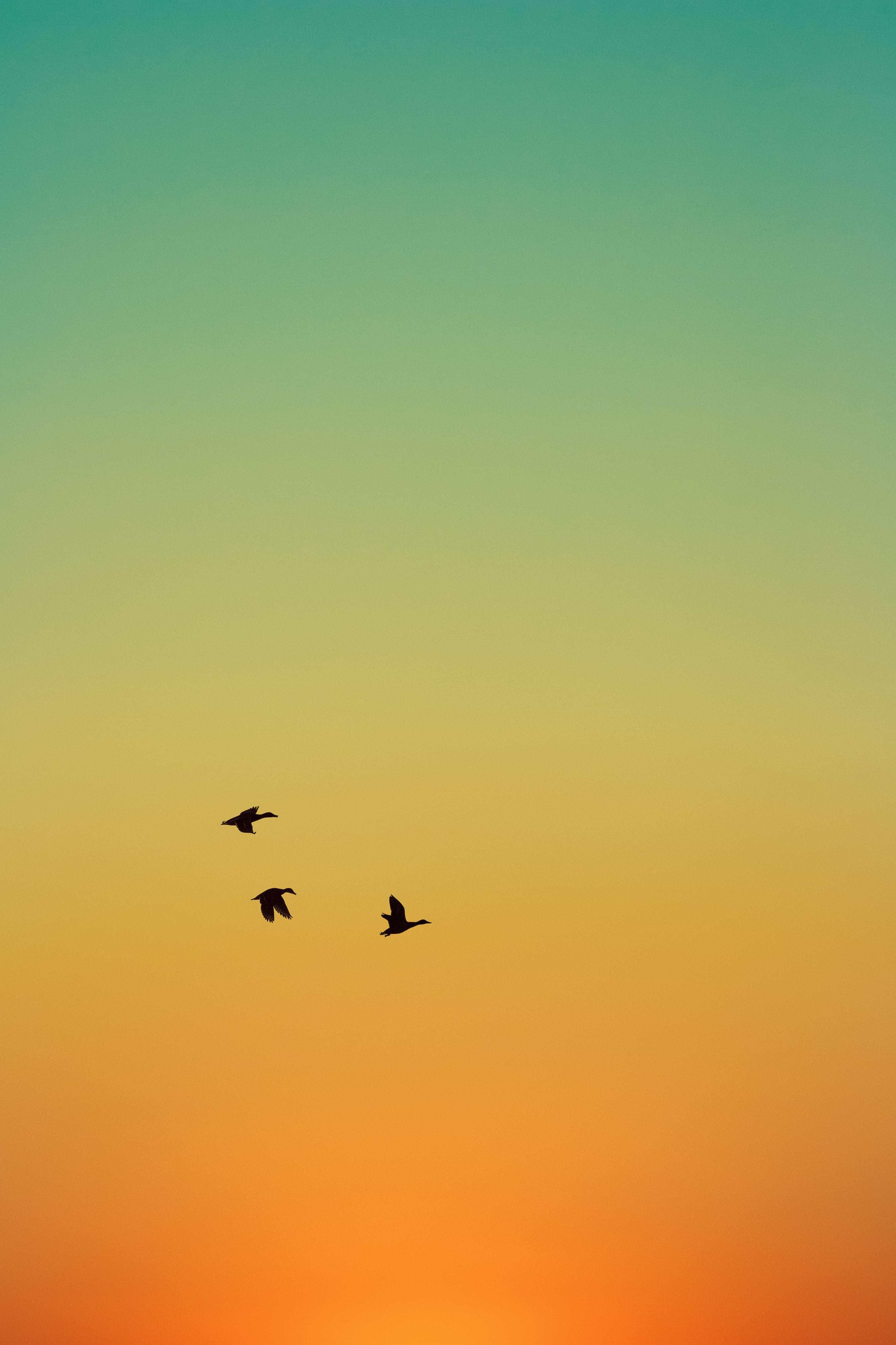 100557 скачать обои Животные, Птицы, Закат, Утки, Небо, Полет - заставки и картинки бесплатно