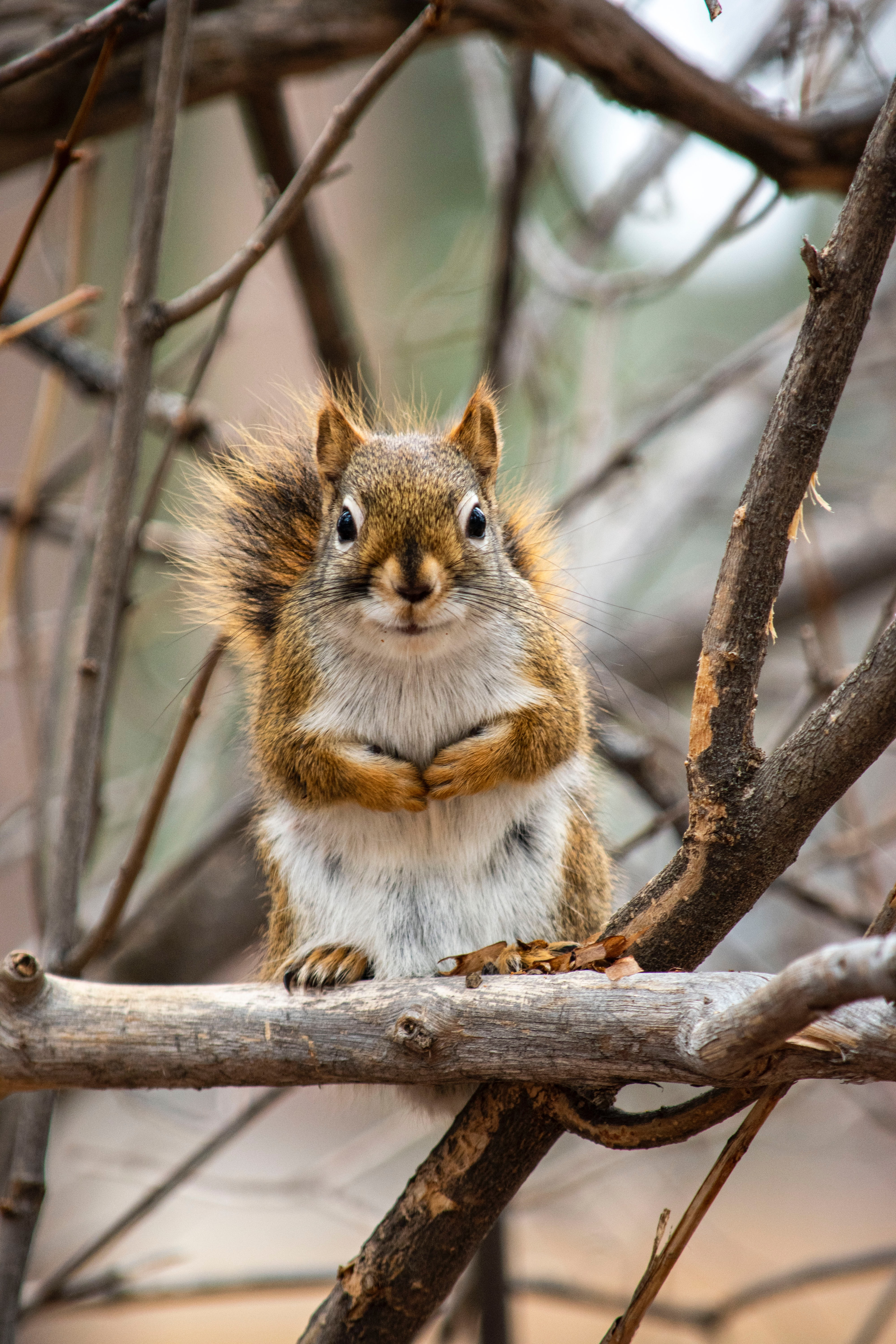 91497 download wallpaper Animals, Squirrel, Animal, Branches, Nice, Sweetheart screensavers and pictures for free
