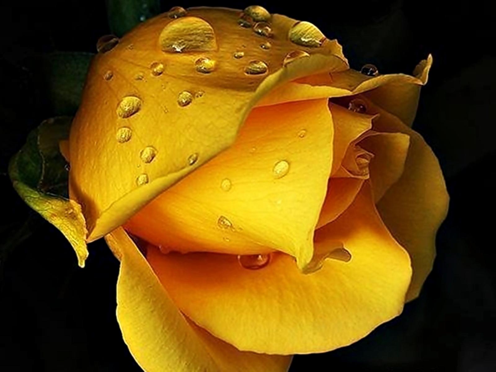 8667 скачать обои Растения, Цветы, Розы, Капли - заставки и картинки бесплатно