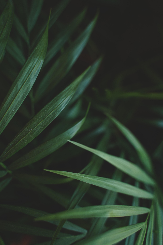 58923 Hintergrundbild herunterladen Blätter, Pflanze, Makro, Palme, Palm - Bildschirmschoner und Bilder kostenlos