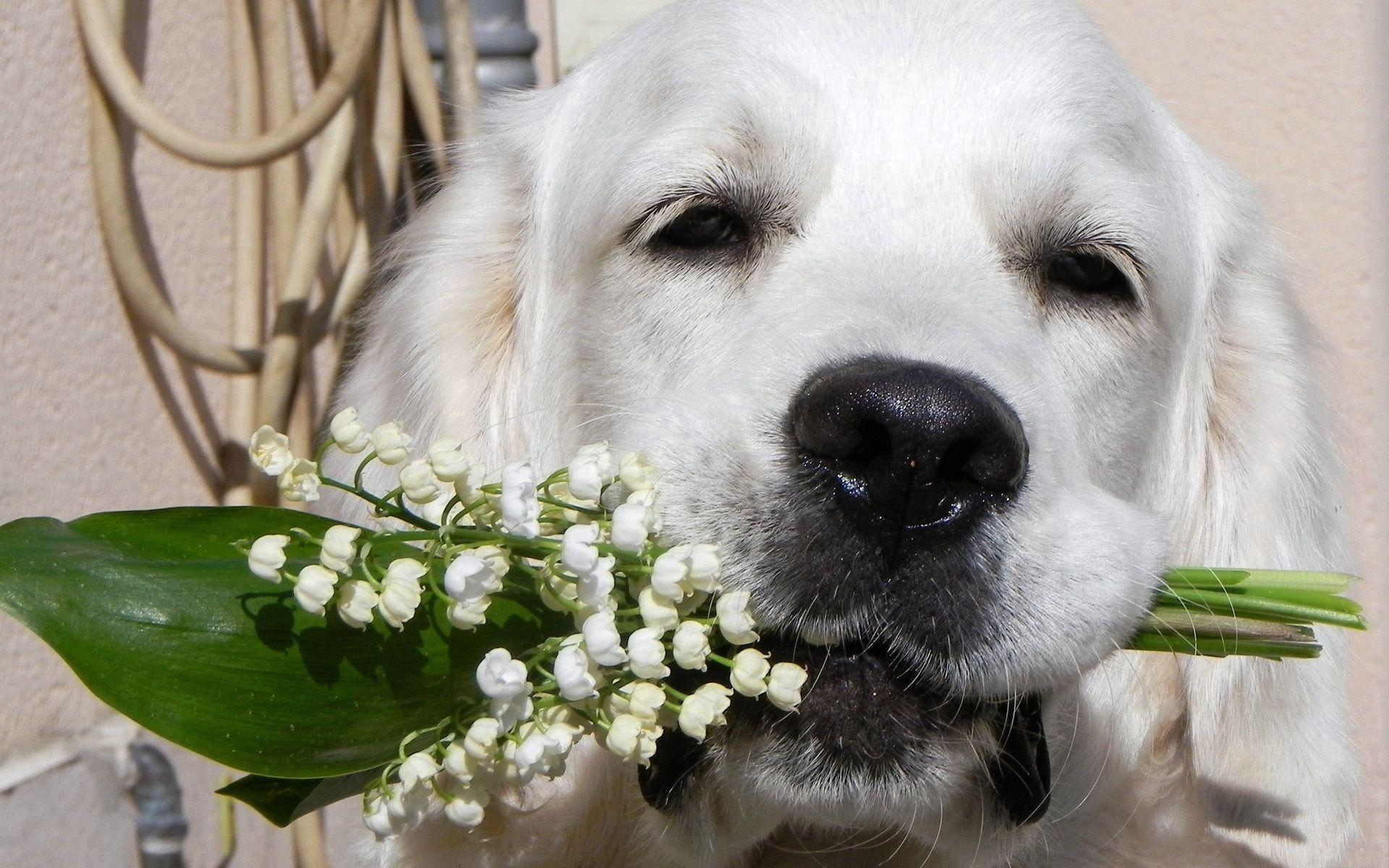 93052 免費下載壁紙 动物, 狗, 枪口, 莫尔达, 鼻子, 花束, 花卉, 铃兰 屏保和圖片