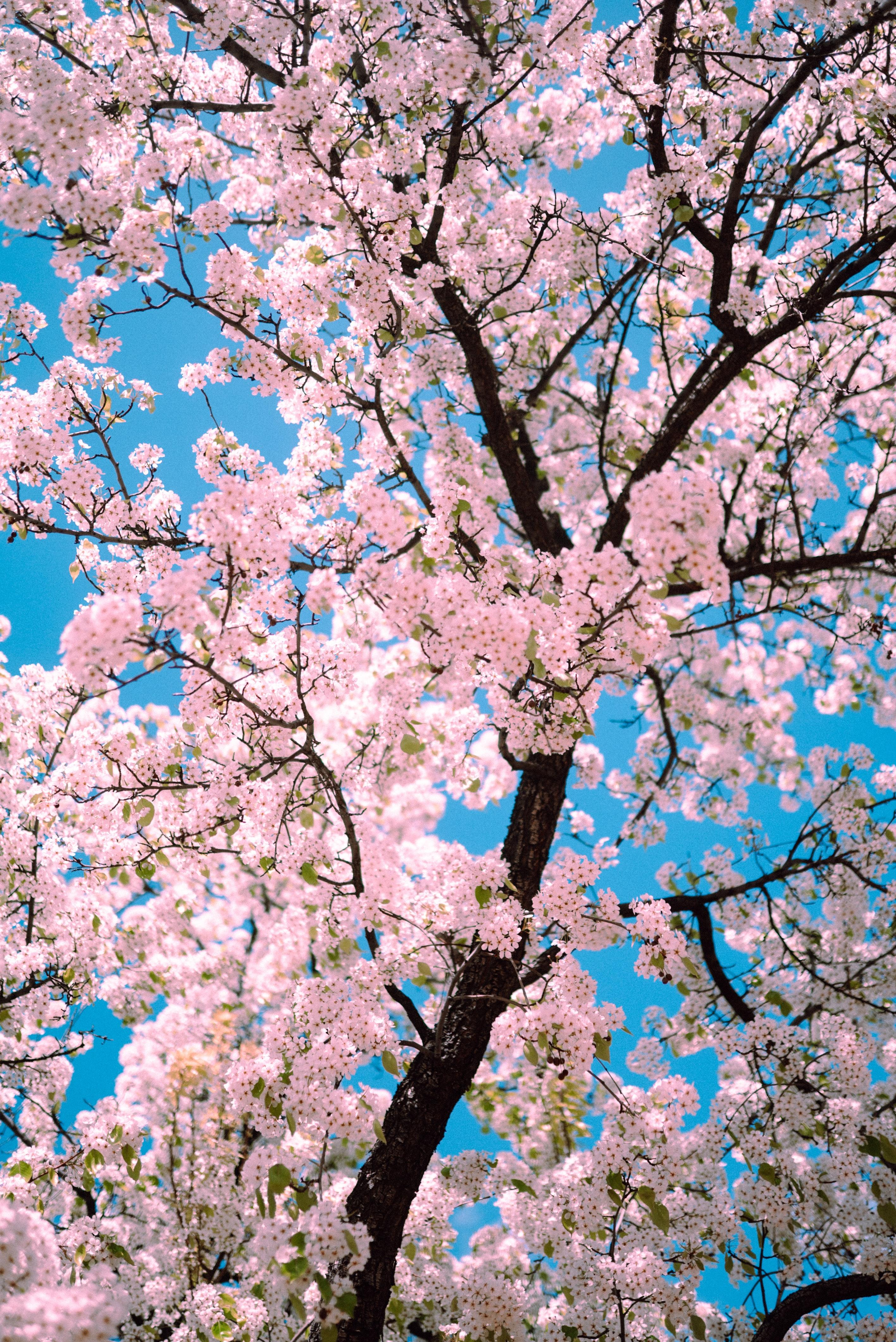 148270 Заставки и Обои Сакура на телефон. Скачать Сакура, Цветы, Дерево, Ветки, Розовый, Весна картинки бесплатно