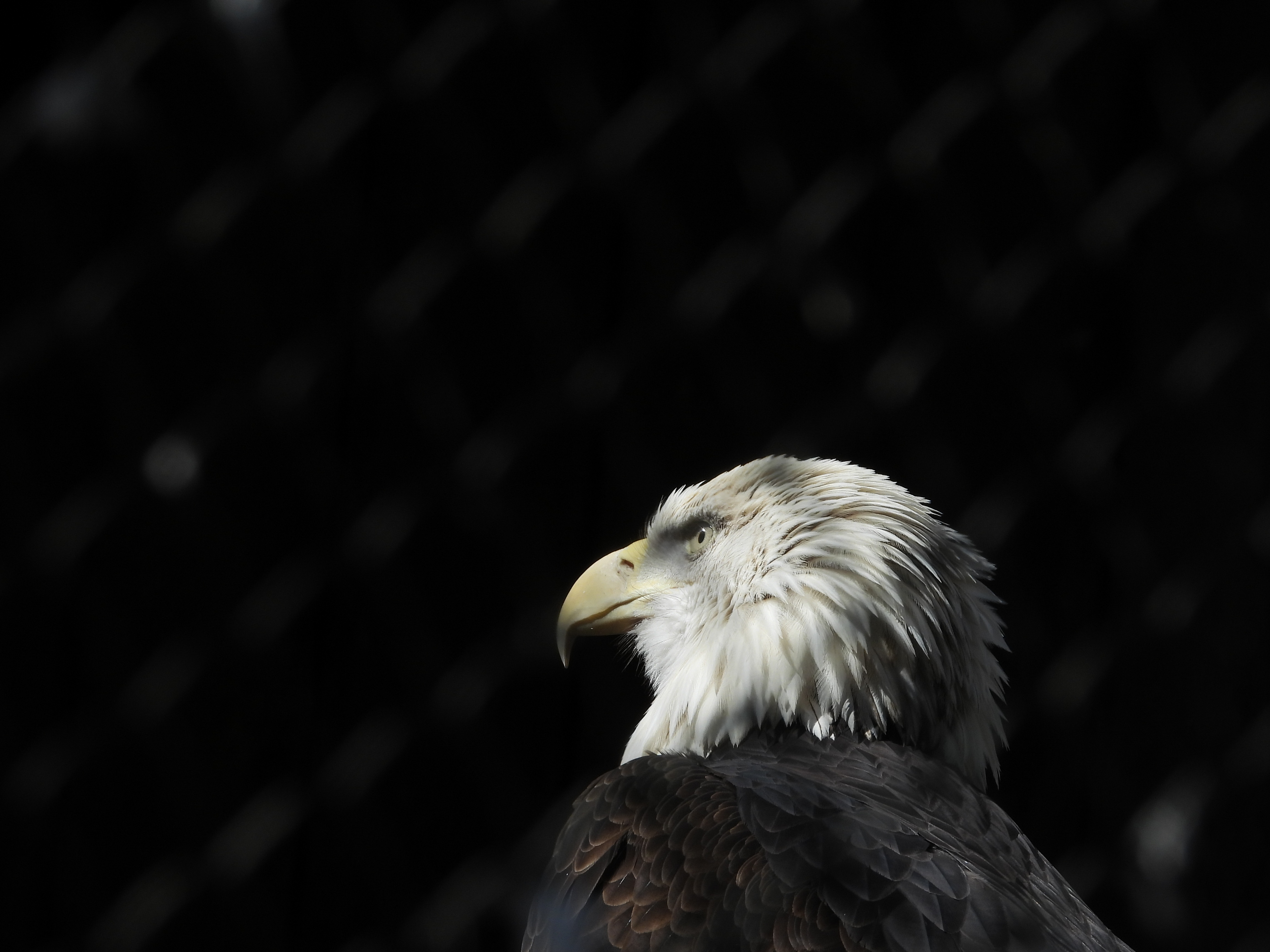 140041 download wallpaper Animals, Bald Eagle, White-Headed Eagle, Eagle, Bird, Beak, Predator, Feather screensavers and pictures for free