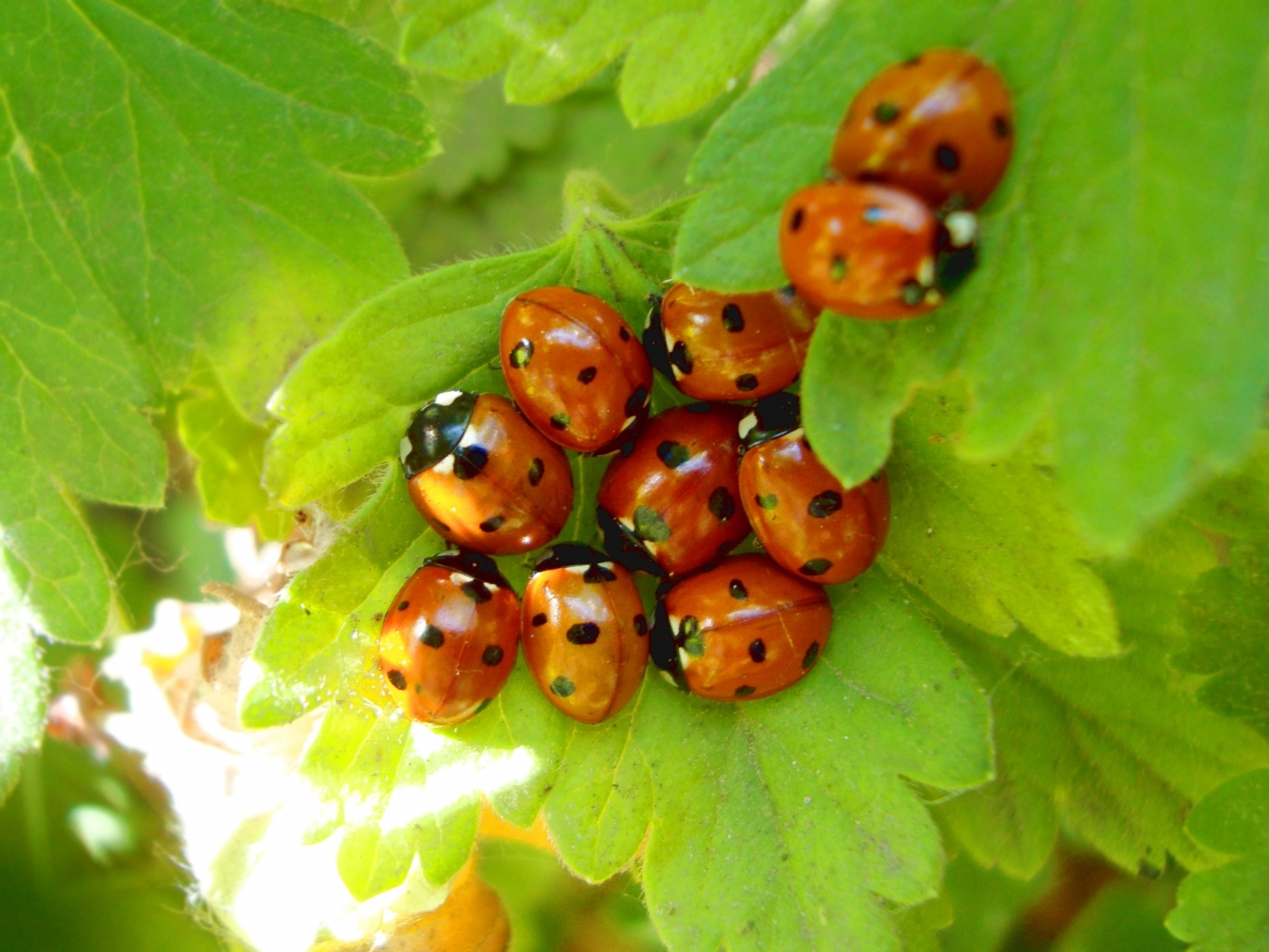 30690 download wallpaper Insects, Ladybugs screensavers and pictures for free