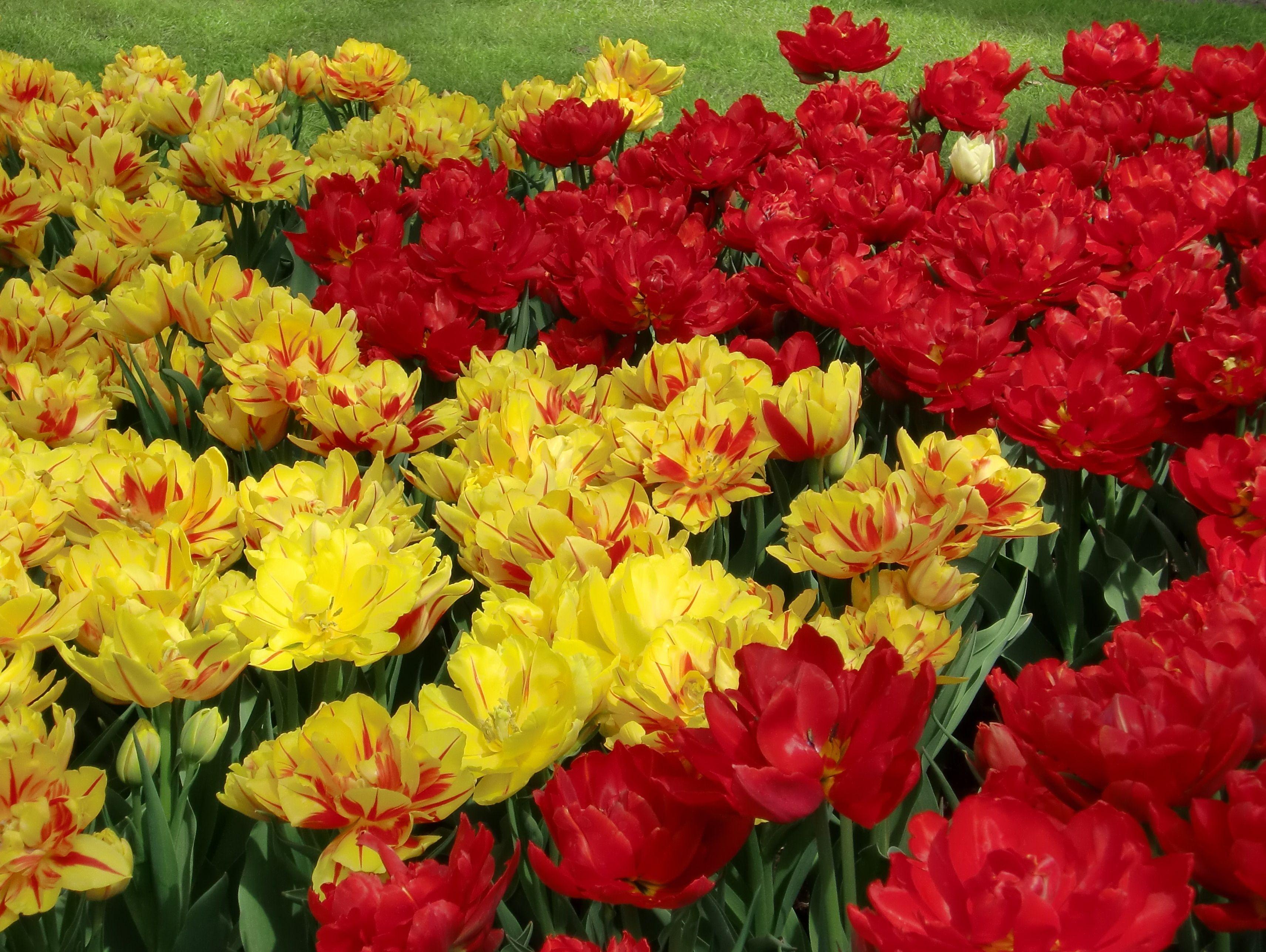 73359 скачать обои Тюльпаны, Цветы, Яркие, Клумба, Распущенные - заставки и картинки бесплатно