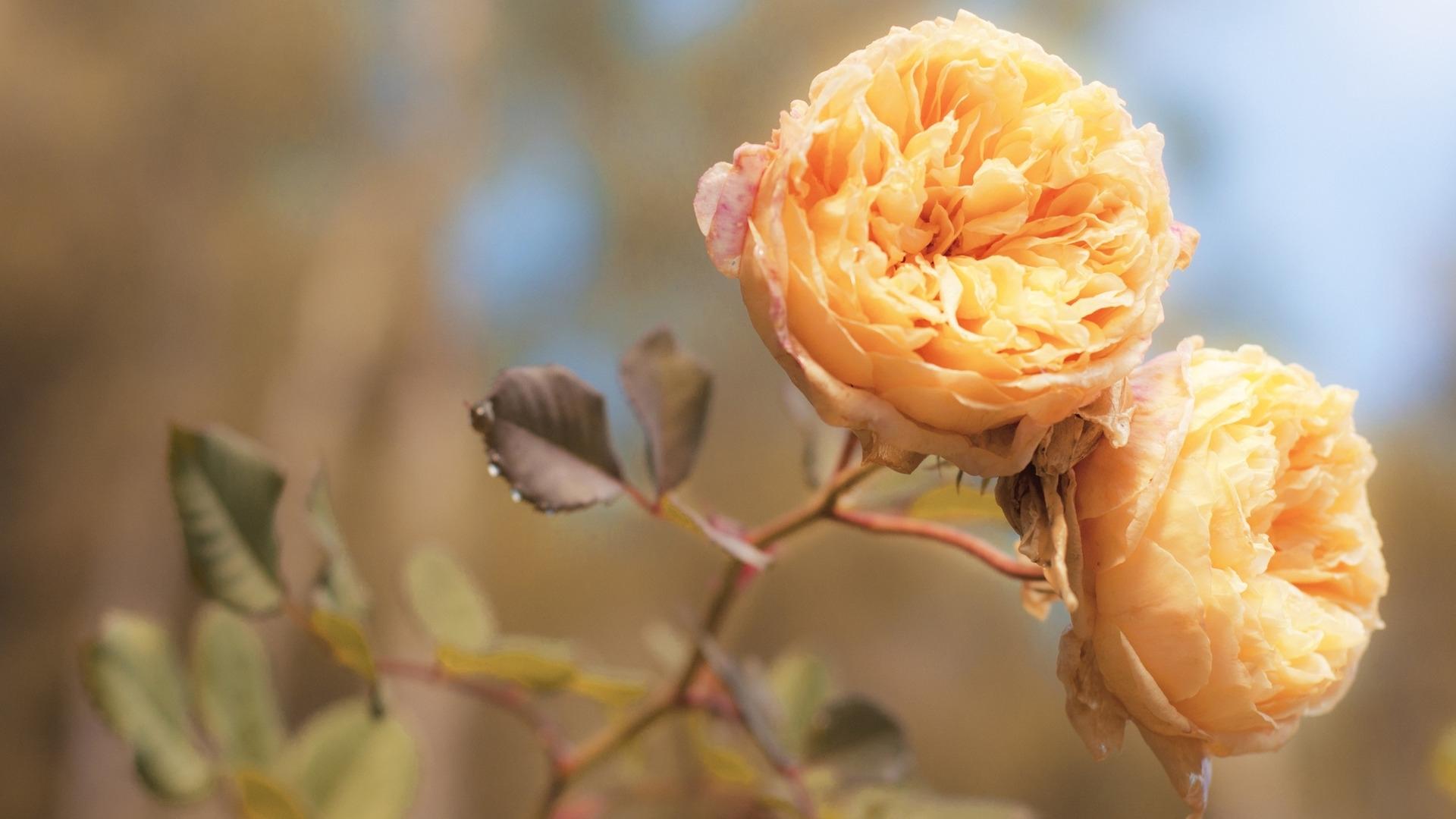 25556 télécharger le fond d'écran Plantes, Fleurs, Roses - économiseurs d'écran et images gratuitement