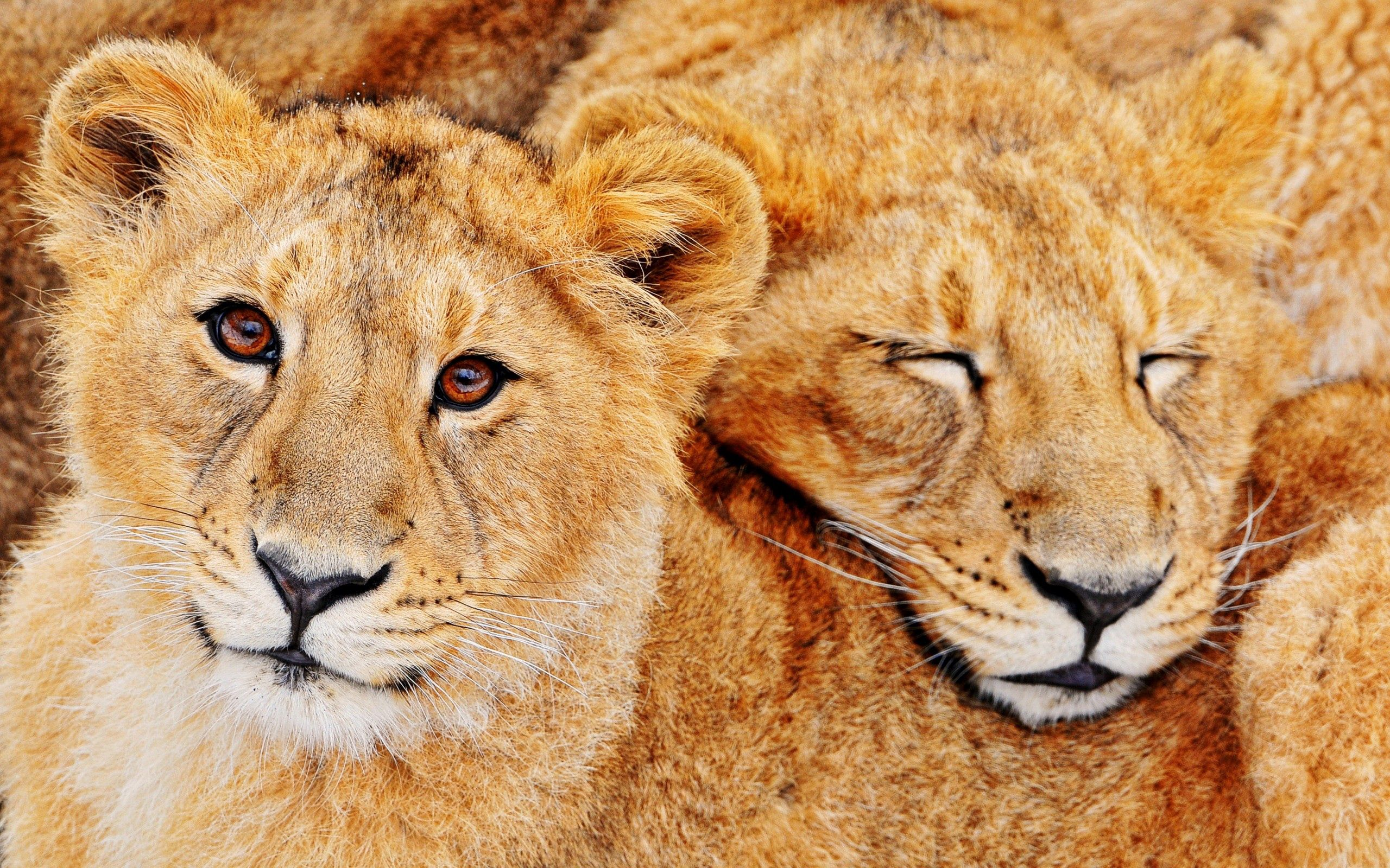 81401 download wallpaper Animals, Couple, Pair, Embrace, Family, Lions screensavers and pictures for free