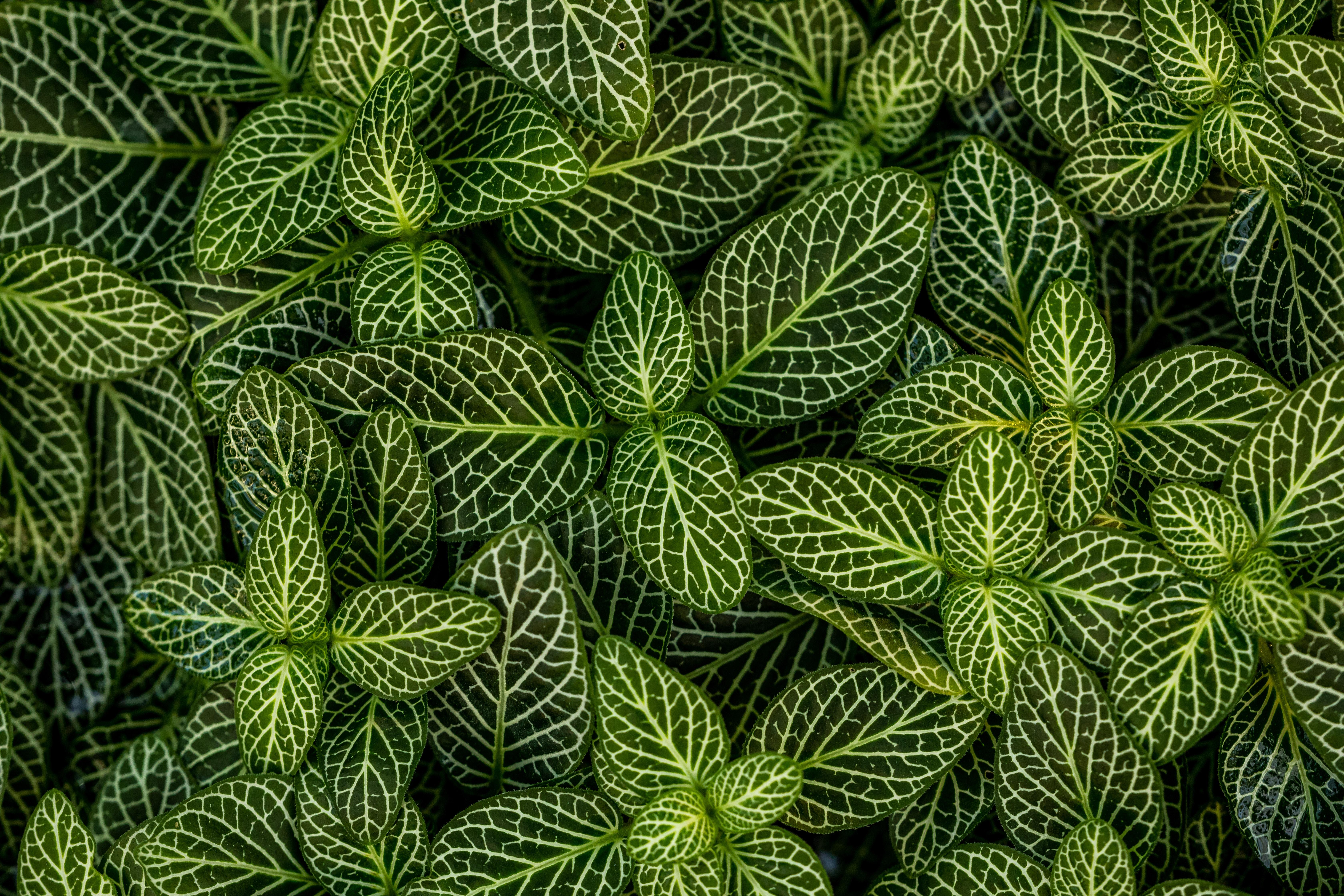 62021 скачать обои Природа, Листья, Растение, Полосатый, Форма, Зеленый, Белый - заставки и картинки бесплатно