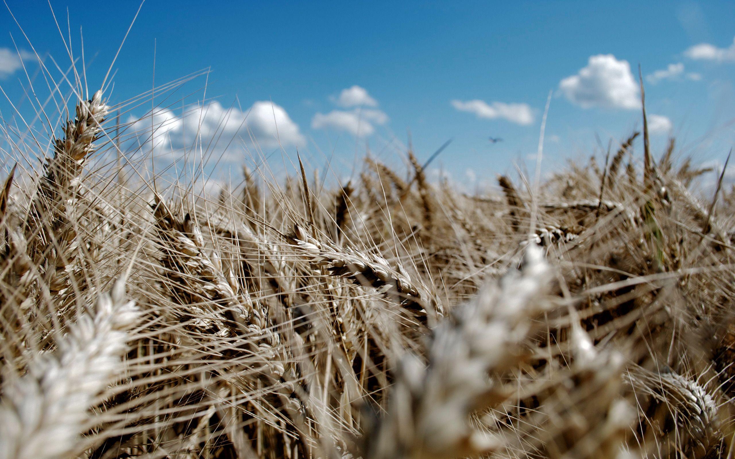 122205 скачать обои Природа, Колосья, Небо, Лазурь, Пшеница - заставки и картинки бесплатно