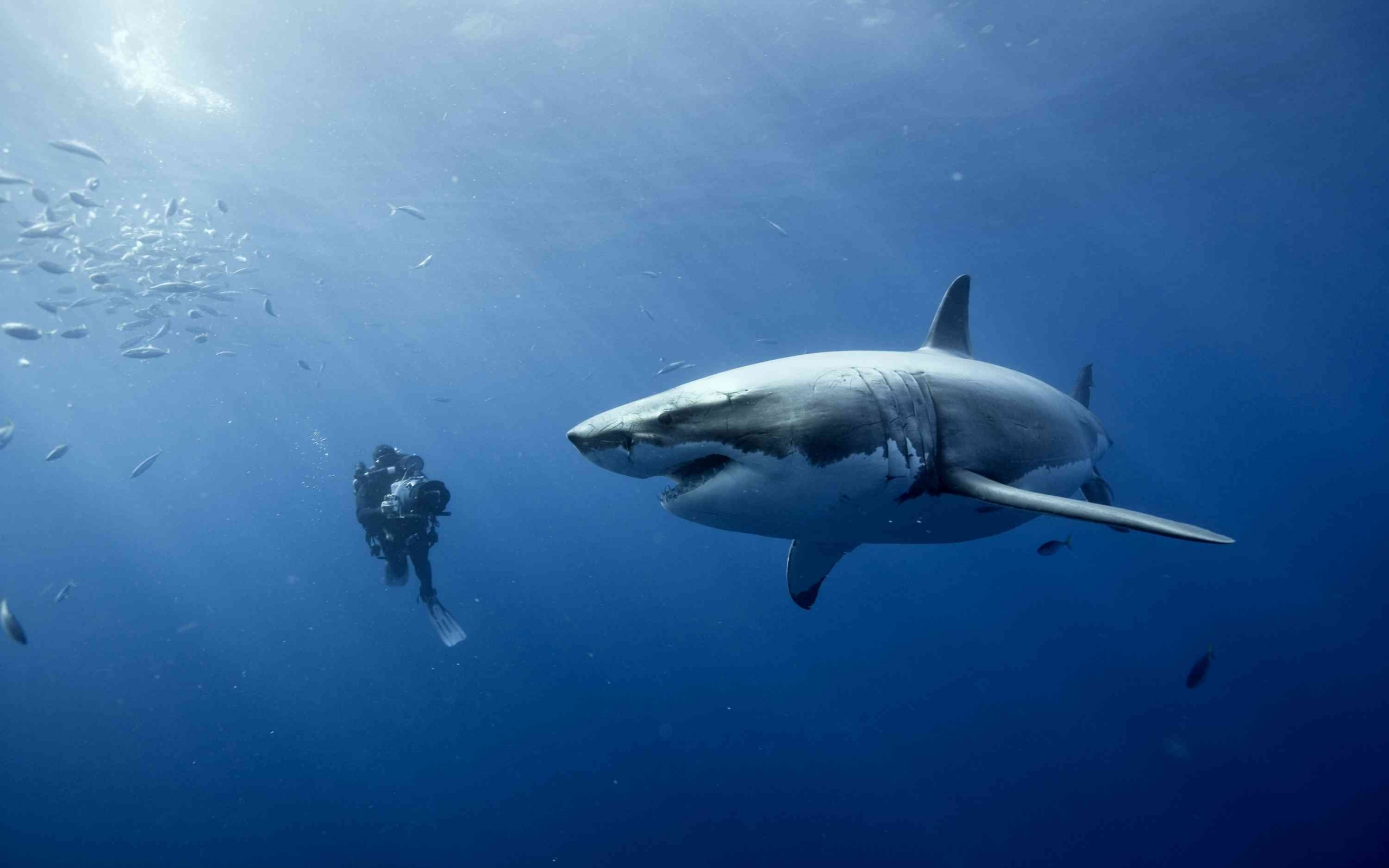 43003 download wallpaper Animals, Sharks screensavers and pictures for free