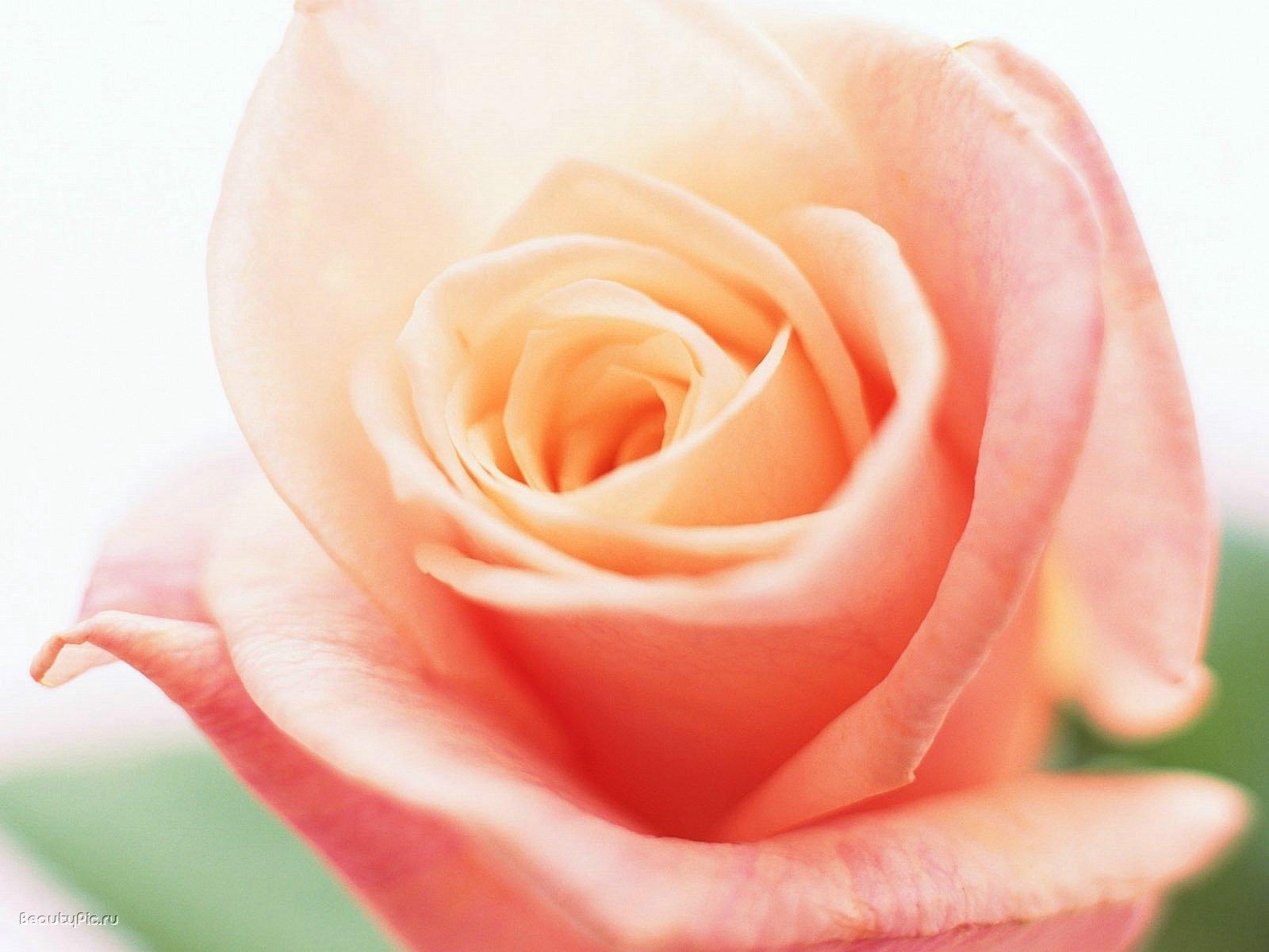 6646 скачать обои Растения, Цветы, Розы - заставки и картинки бесплатно