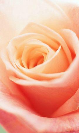 6646 télécharger le fond d'écran Plantes, Fleurs, Roses - économiseurs d'écran et images gratuitement