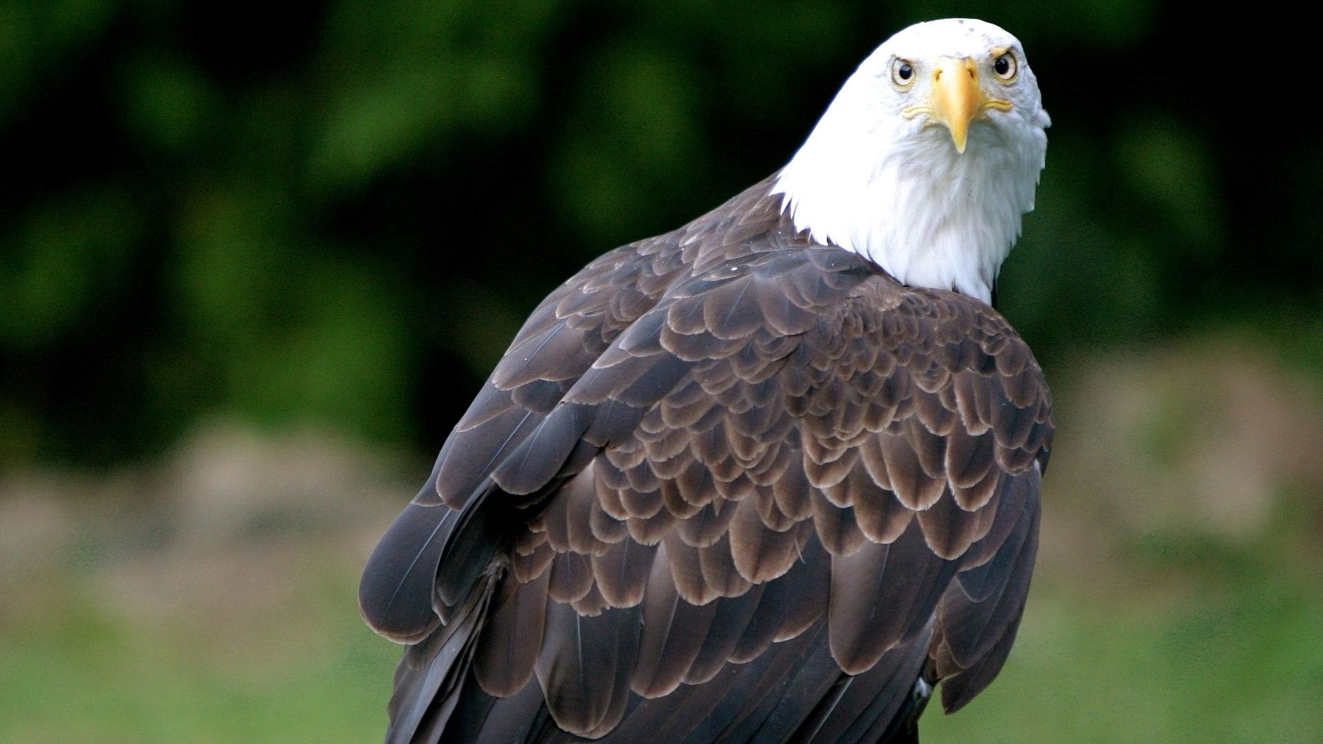 76724 download wallpaper Animals, Eagle, Bald Eagle, White-Headed Eagle, Predator, Bird screensavers and pictures for free