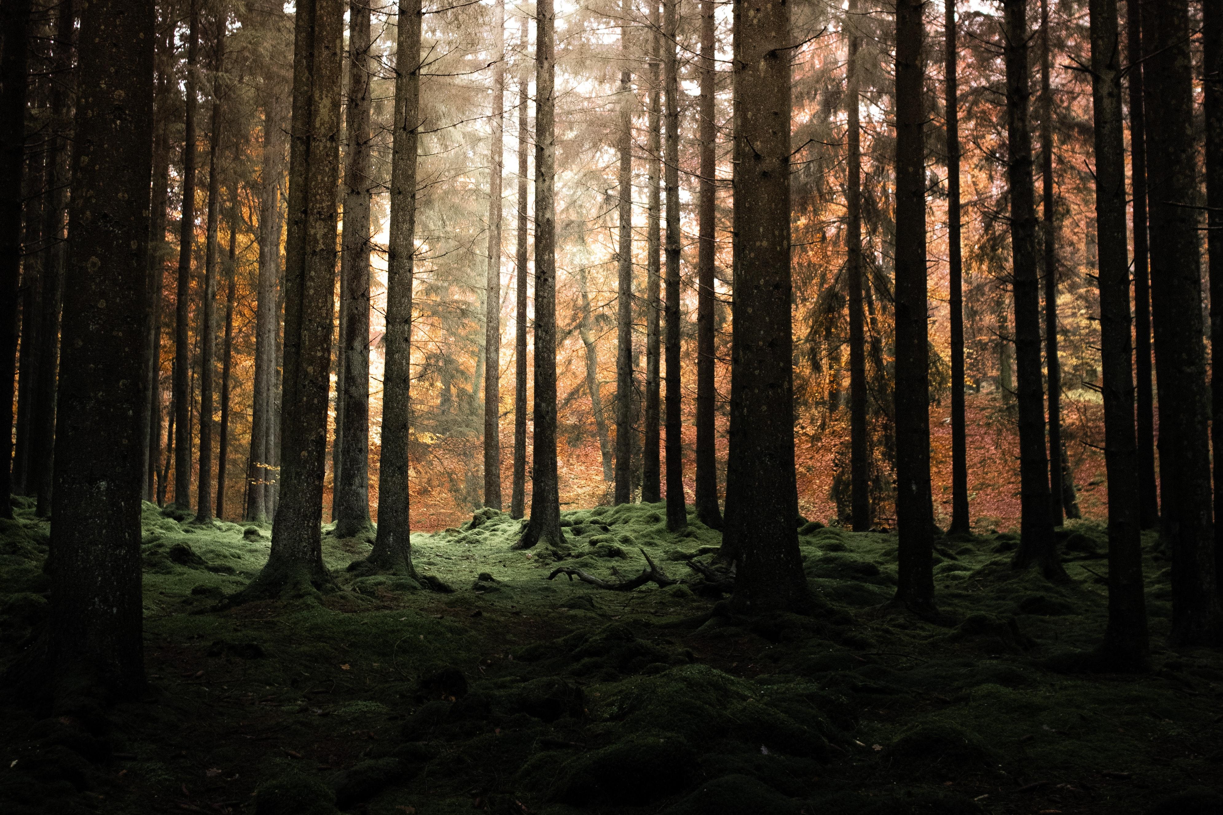 131469 скачать обои Лес, Деревья, Сумерки, Природа, Сосны - заставки и картинки бесплатно