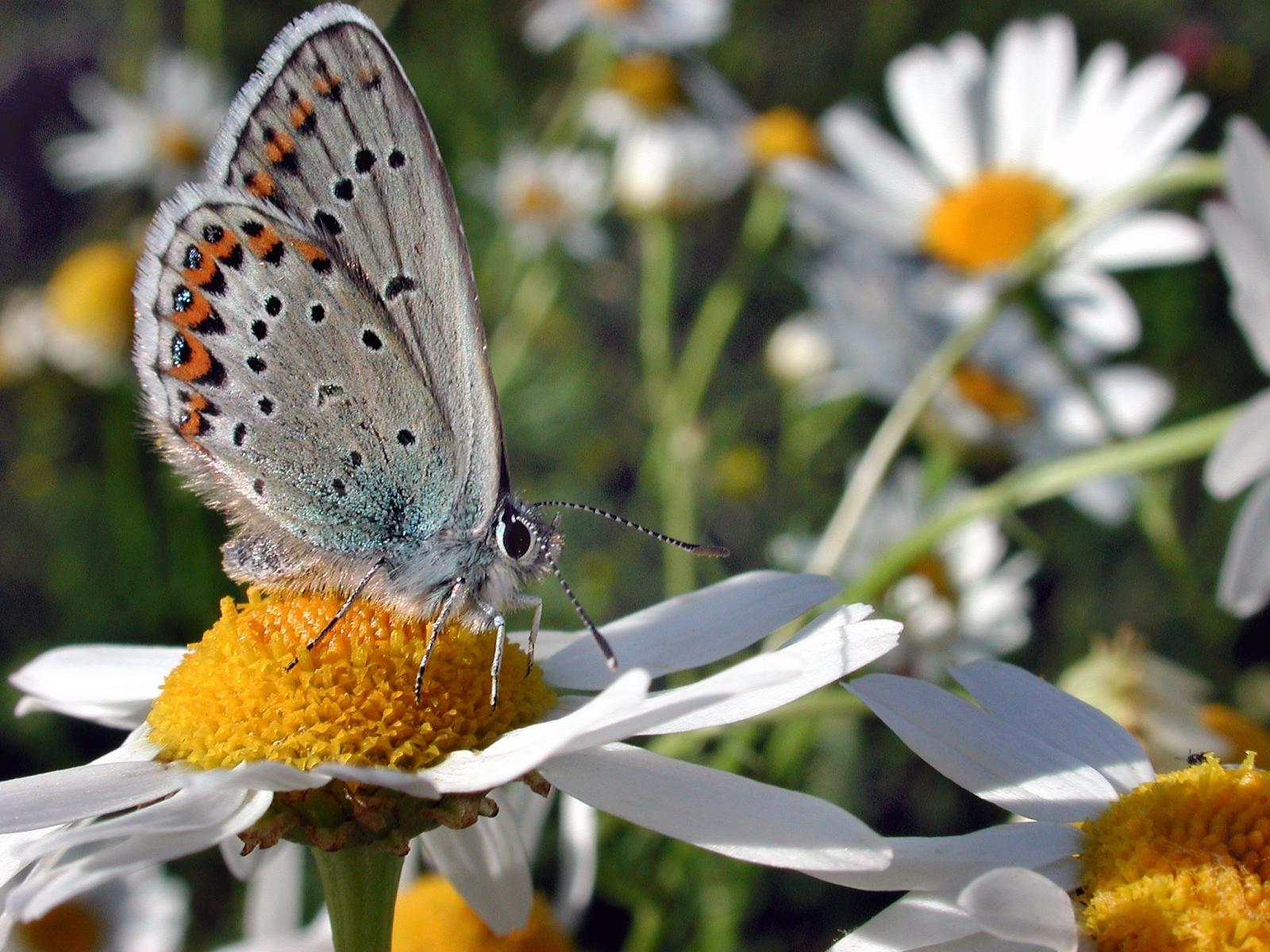 3919 скачать обои Бабочки, Цветы, Насекомые - заставки и картинки бесплатно