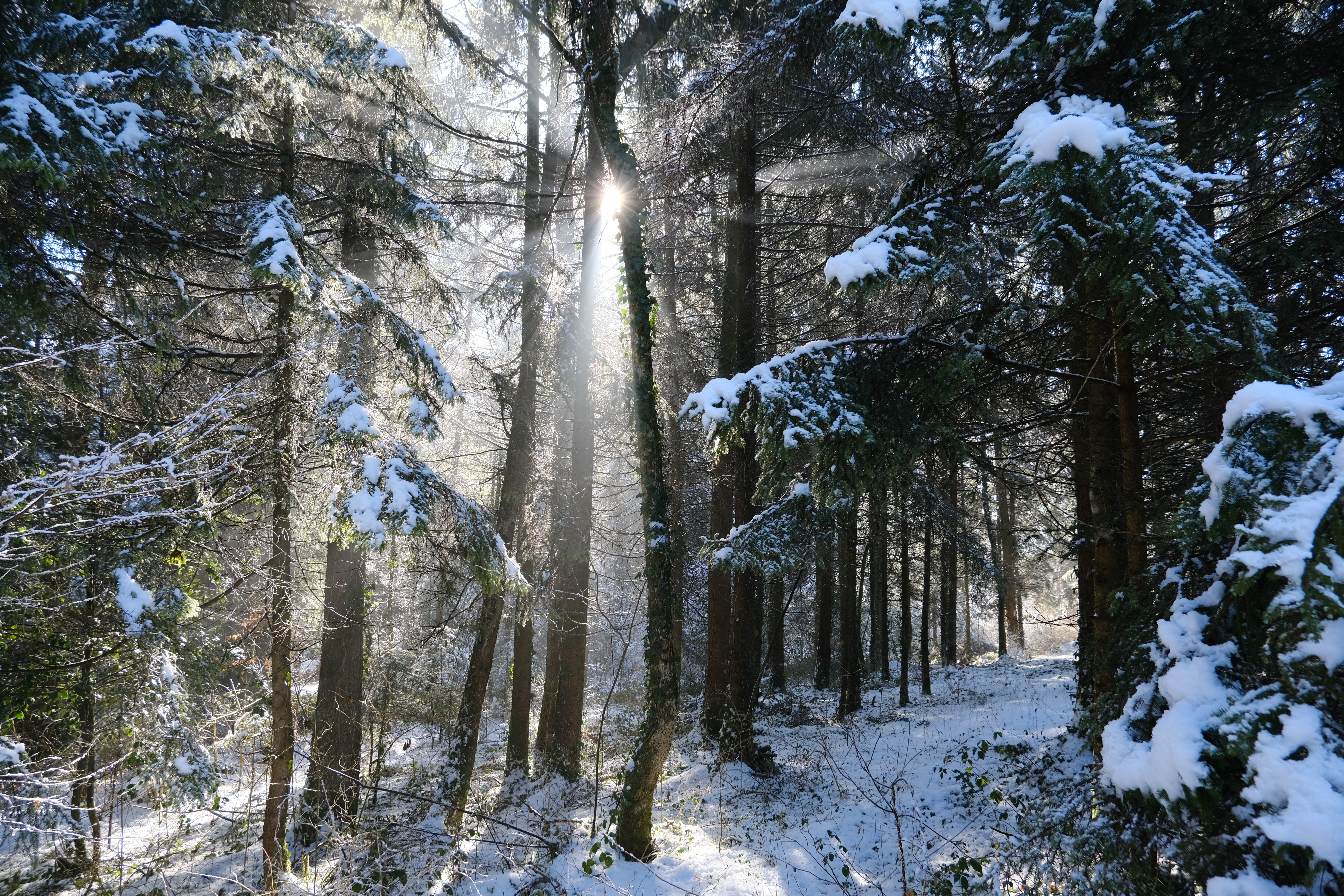 133158 download wallpaper Forest, Trees, Snow, Winter, Nature, Sun screensavers and pictures for free