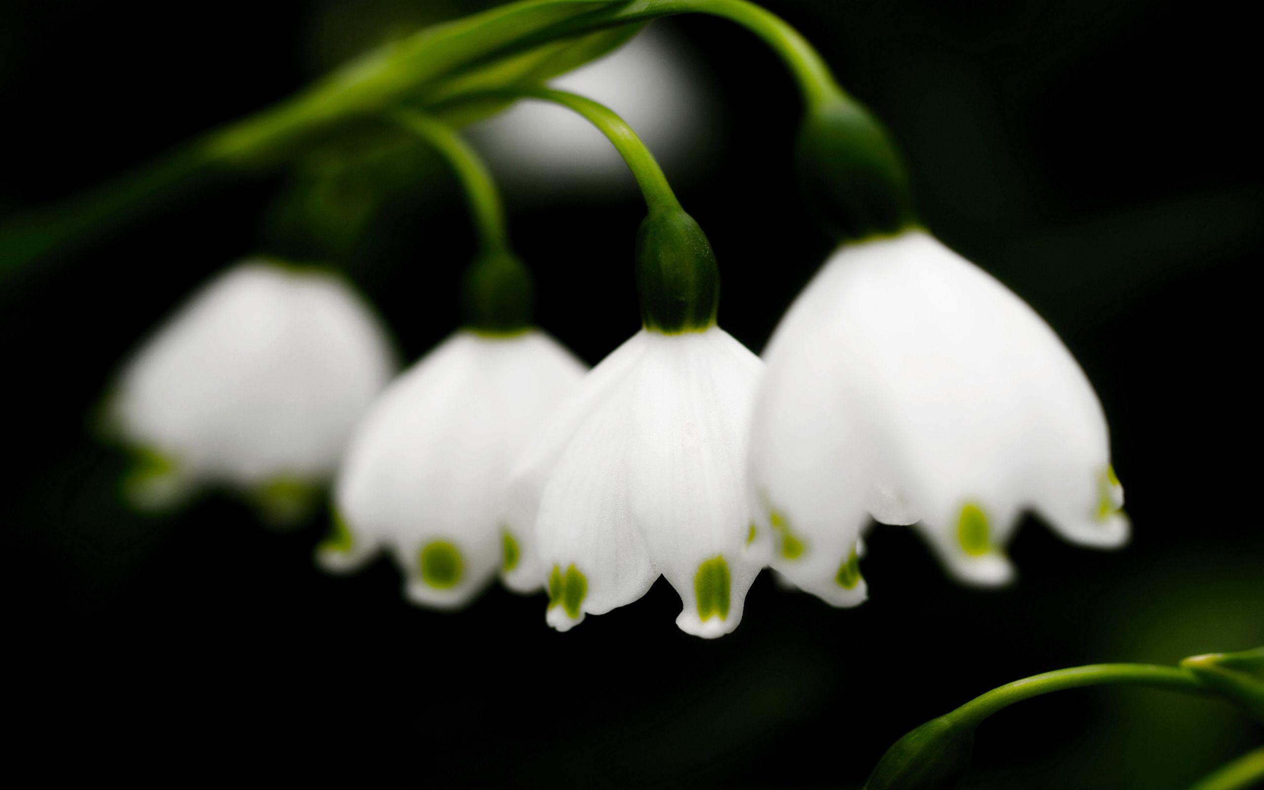 73529 скачать обои Ландыши, Цветы, Колокольчики, Крупный План, Весна - заставки и картинки бесплатно
