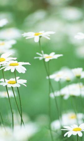 6794 скачать обои Растения, Цветы, Ромашки - заставки и картинки бесплатно