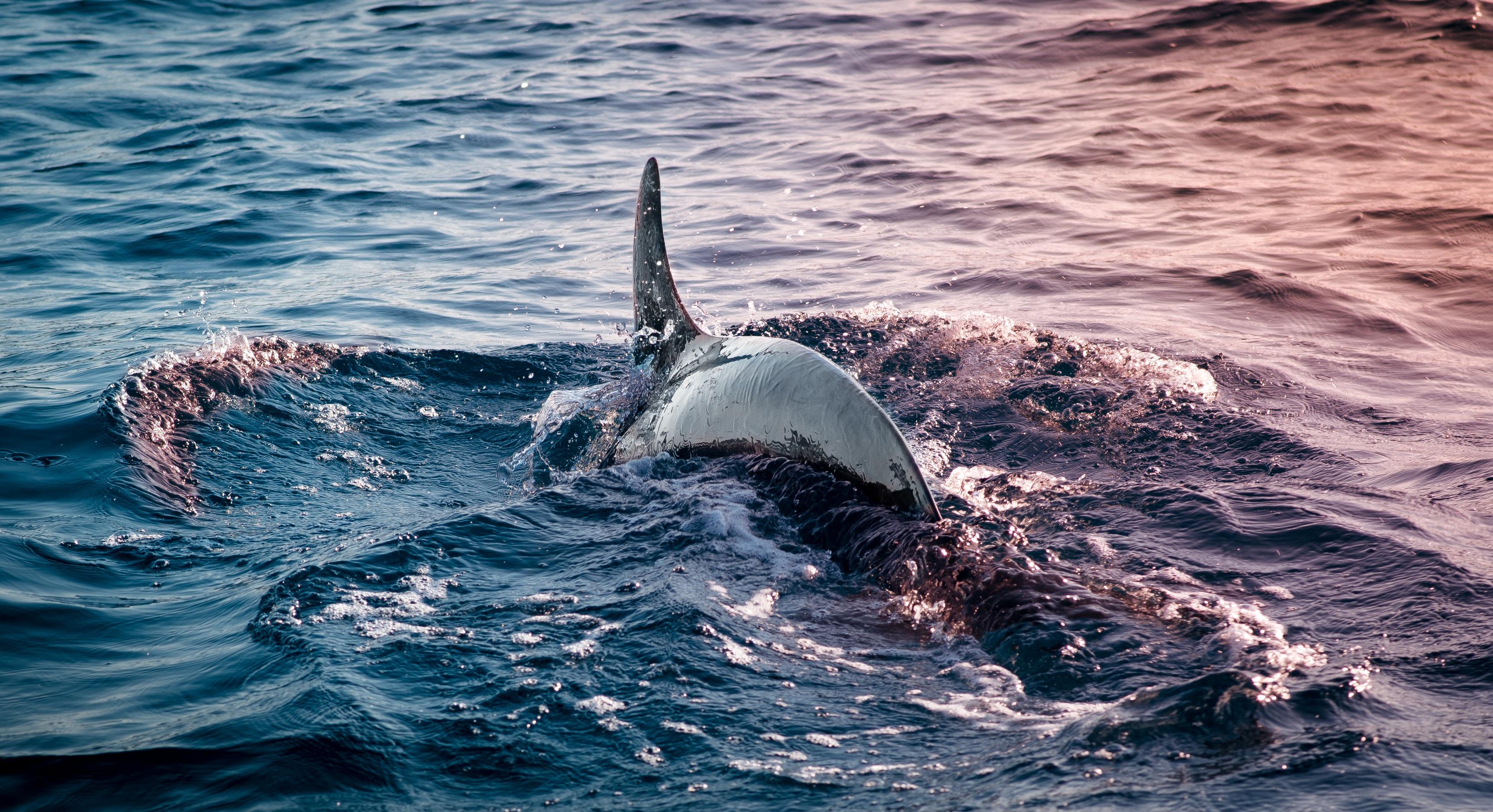 109485 скачать обои Животные, Дельфин, Плавник, Вода, Море, Волны - заставки и картинки бесплатно