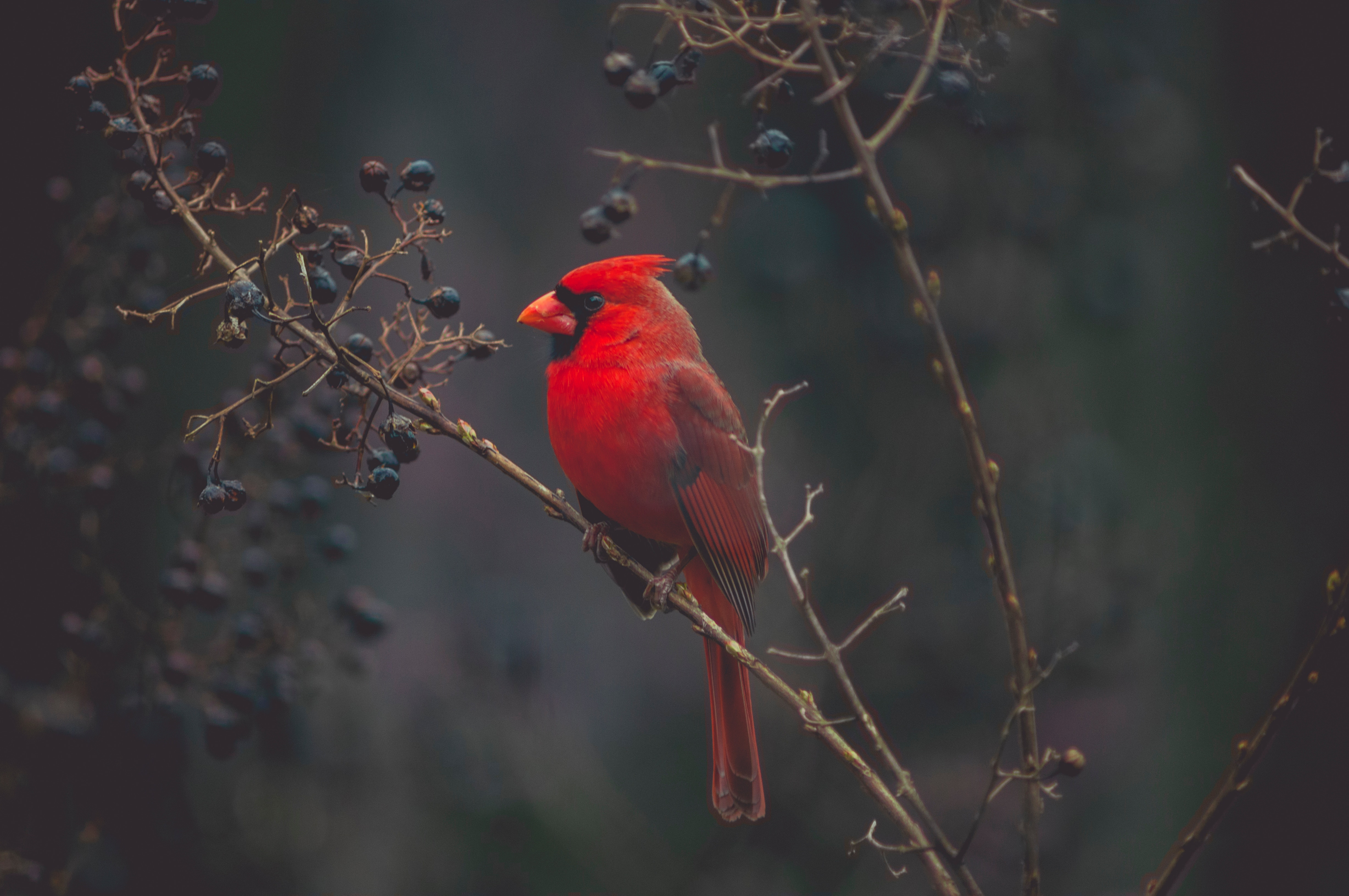 71552 Screensavers and Wallpapers Bird for phone. Download Bird, Animals, Branches, Color, Cardinal pictures for free