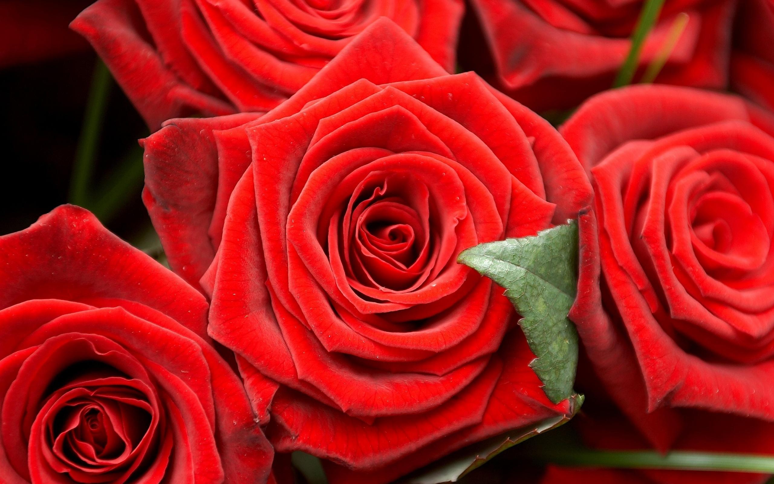 36756 скачать Красные обои на телефон бесплатно, Растения, Цветы, Розы Красные картинки и заставки на мобильный