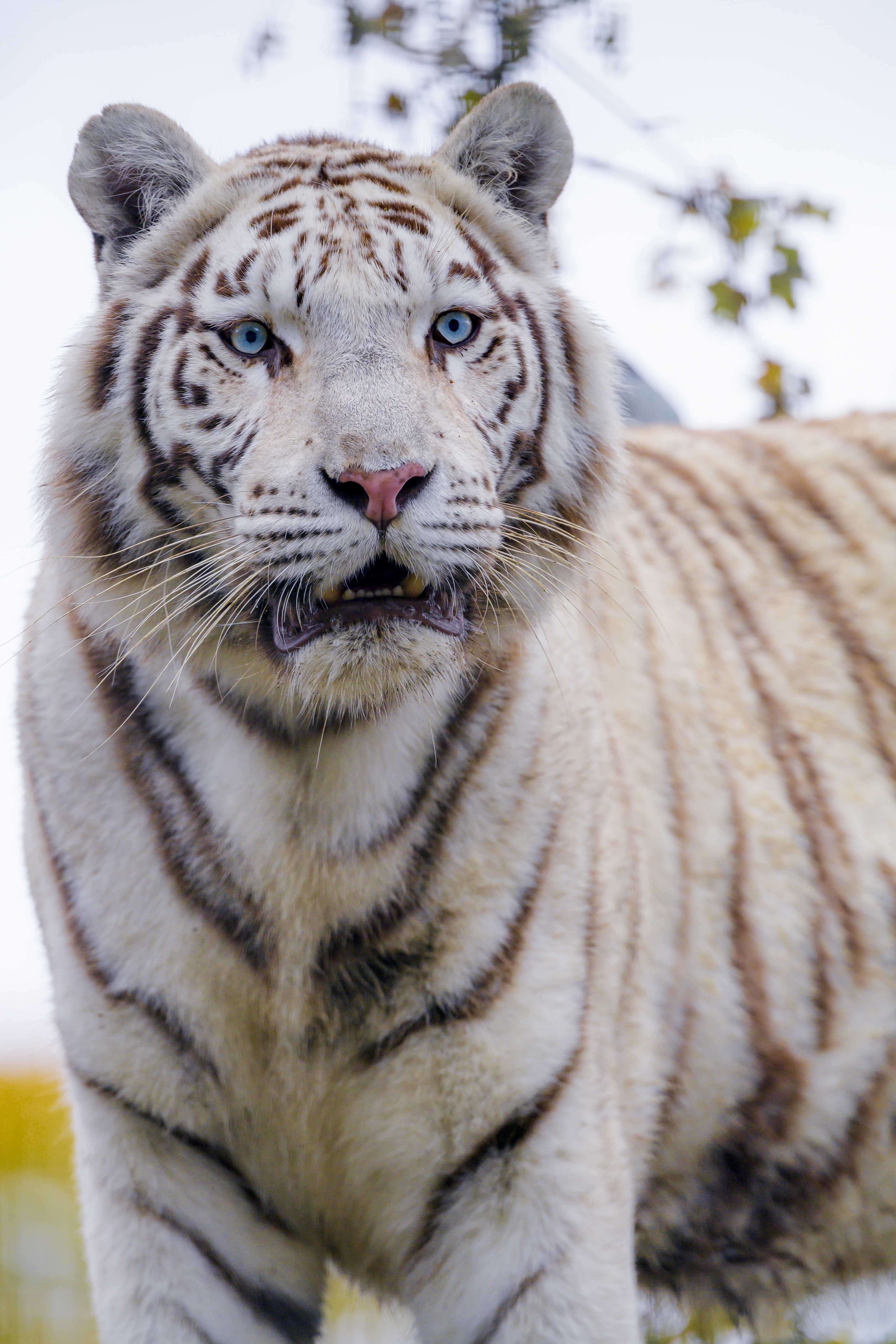 102232 download wallpaper Animals, White Tiger, Tiger, Predator, Big Cat, Wild screensavers and pictures for free