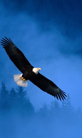 13130 download wallpaper Animals, Birds, Eagles screensavers and pictures for free