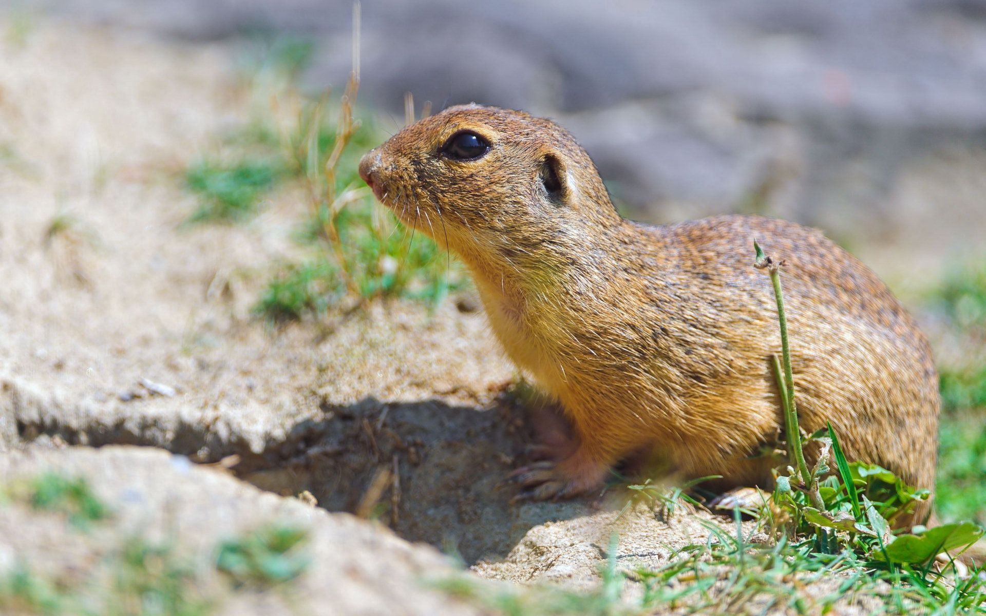 55140 download wallpaper Animals, Gopher, Grass, Rodent screensavers and pictures for free