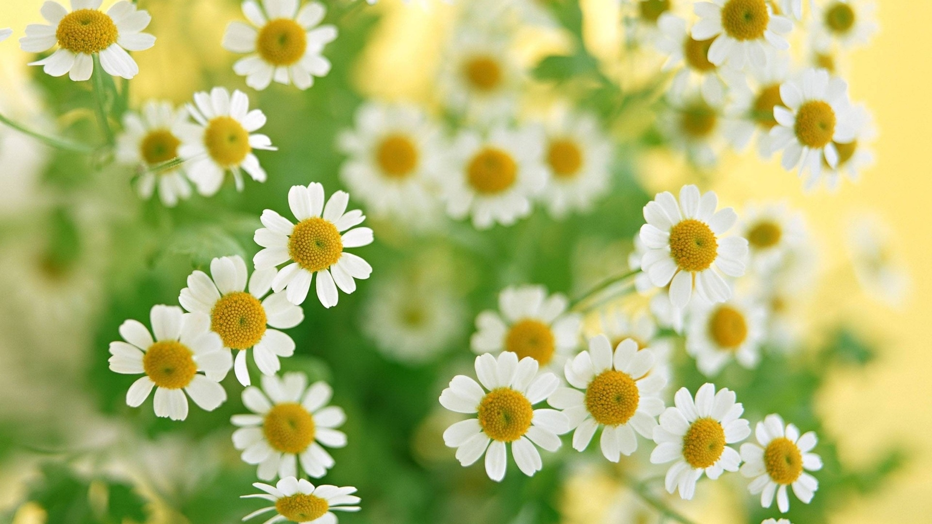 48093 download wallpaper Plants, Flowers, Camomile screensavers and pictures for free
