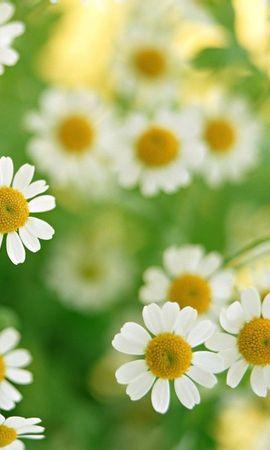 48093 télécharger le fond d'écran Plantes, Fleurs, Camomille - économiseurs d'écran et images gratuitement