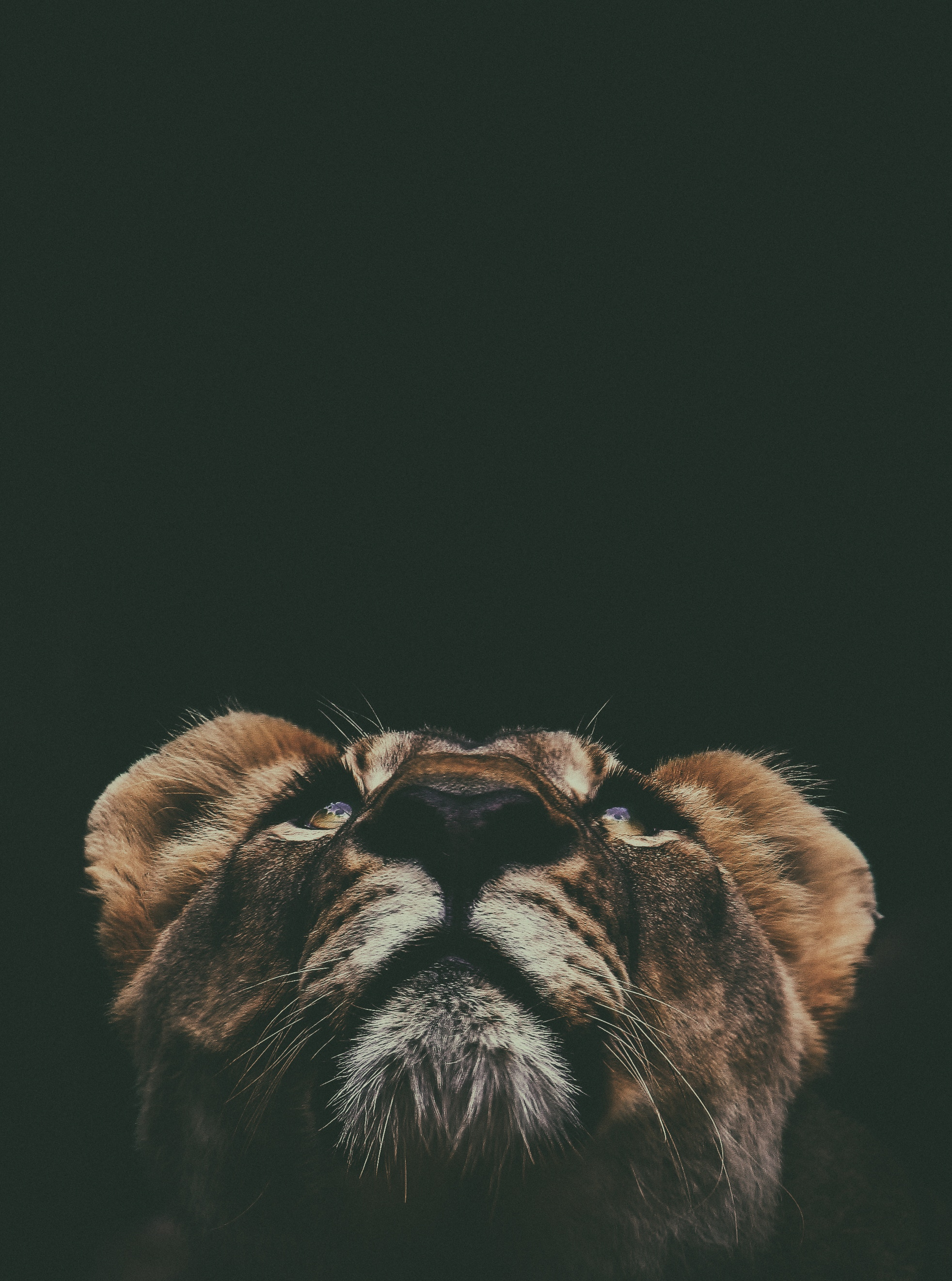 59685 download wallpaper Animals, Up, Top, Muzzle, Lion, Sight, Opinion screensavers and pictures for free