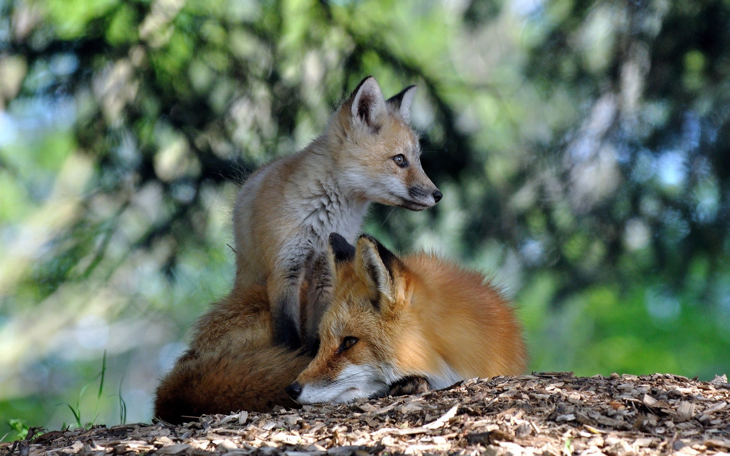 120014 download wallpaper Animals, Fox, Couple, Pair, To Lie Down, Lie, Grass, Forest screensavers and pictures for free