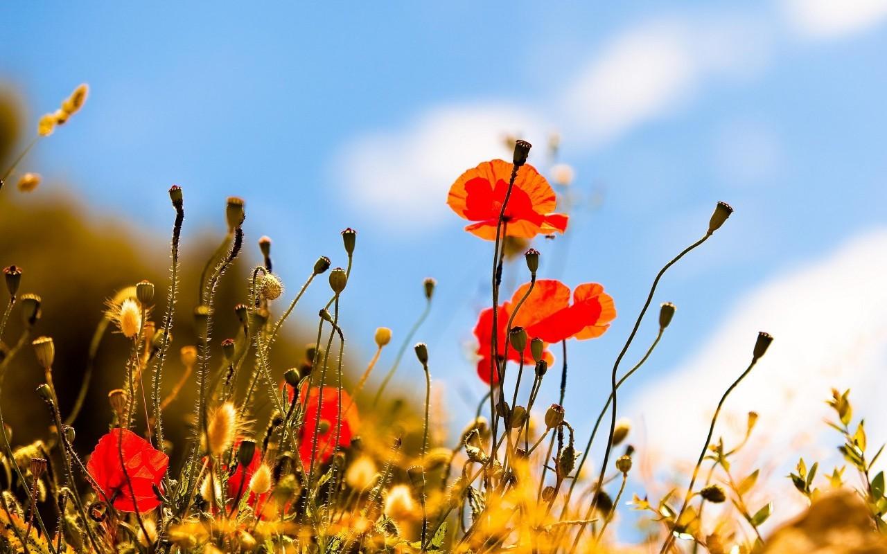21819 скачать обои Растения, Цветы, Маки - заставки и картинки бесплатно