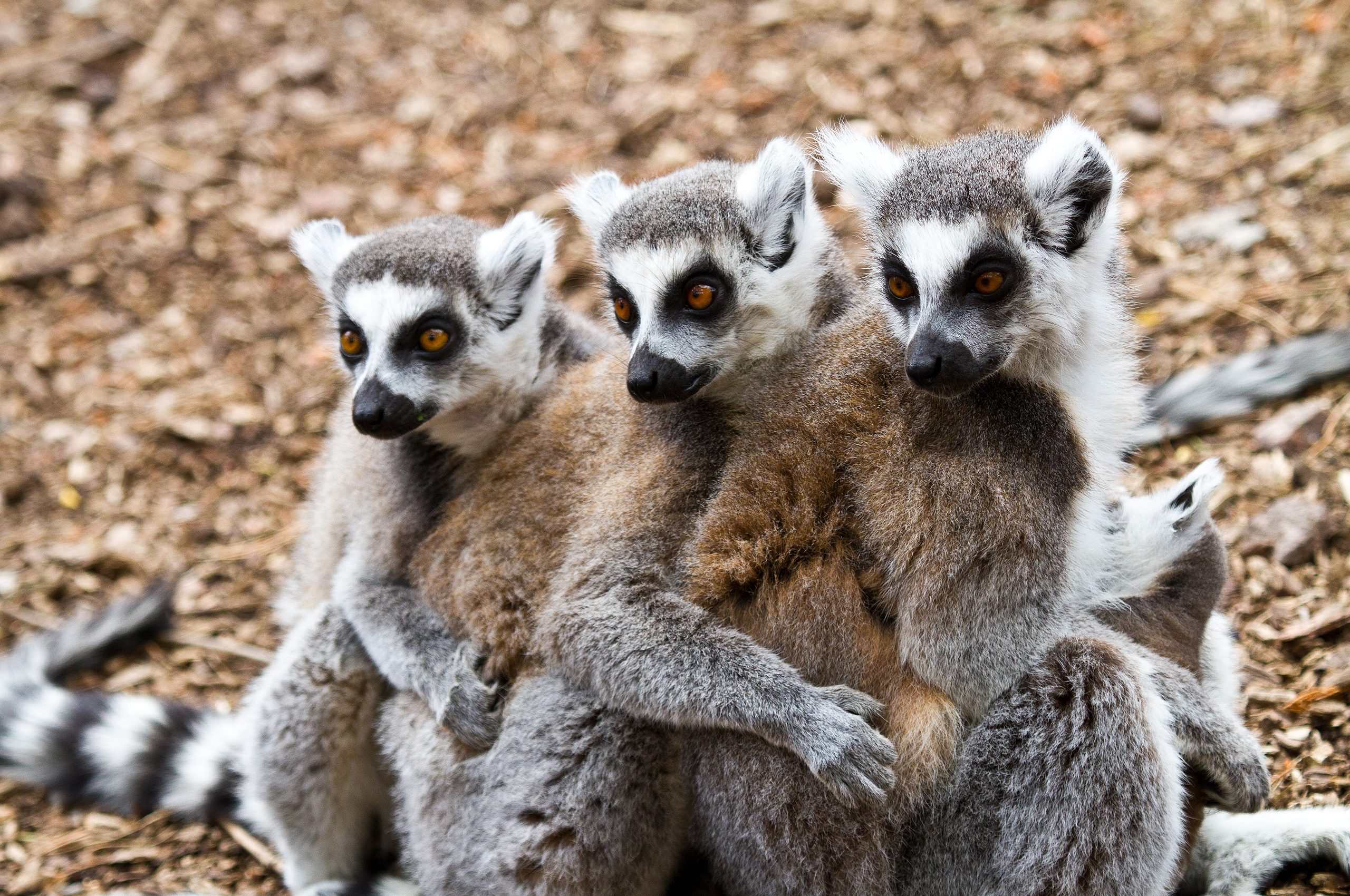 115590 Screensavers and Wallpapers Lemurs for phone. Download Animals, Lemurs, Three pictures for free