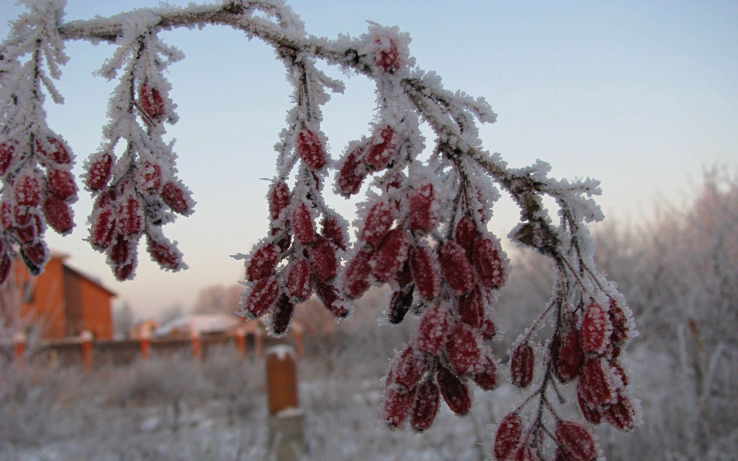 137373 скачать обои Зима, Природа, Ягоды, Шиповник, Ветка, Иней, Мороз - заставки и картинки бесплатно