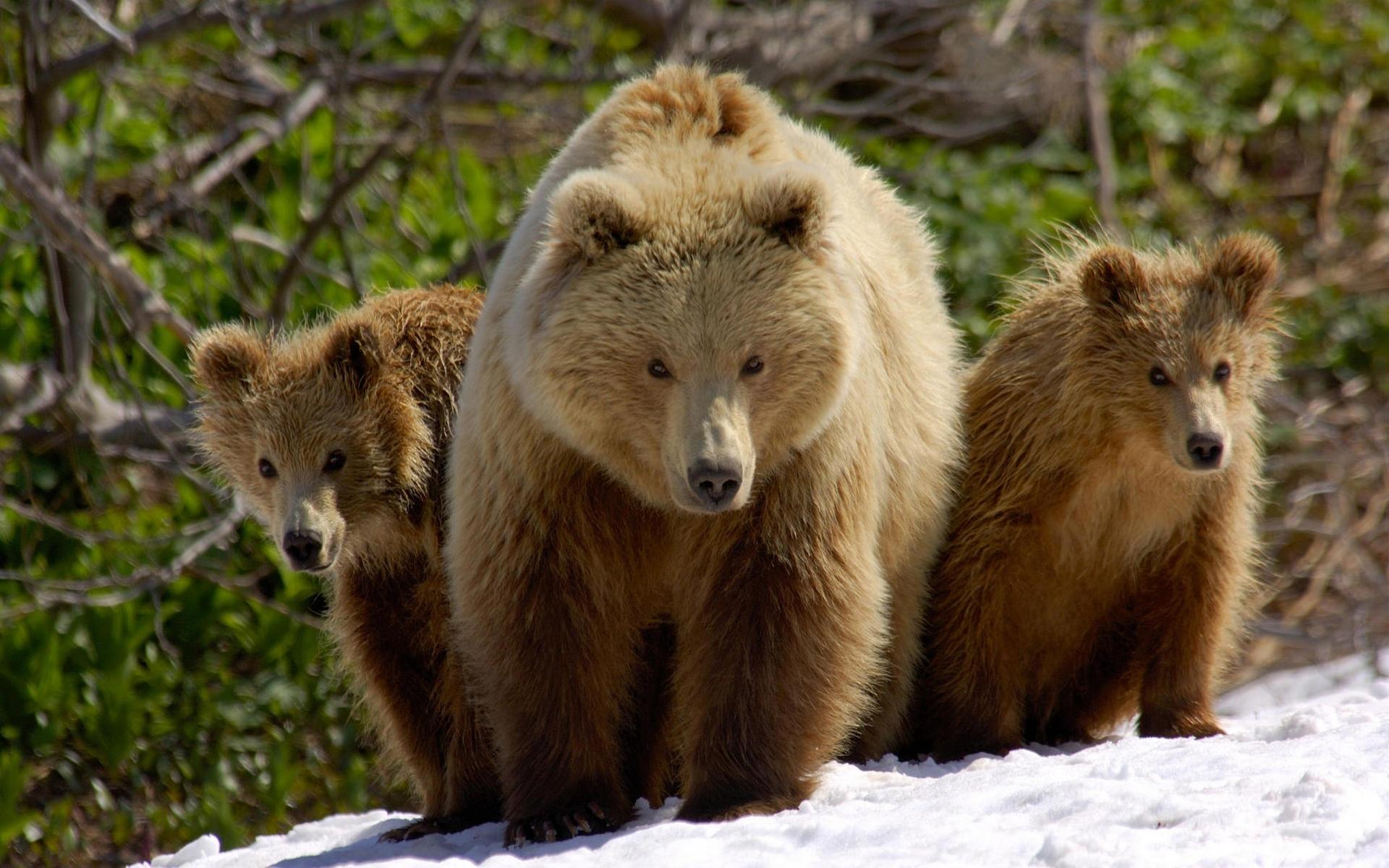 38635 Заставки и Обои Медведи на телефон. Скачать Медведи, Животные картинки бесплатно
