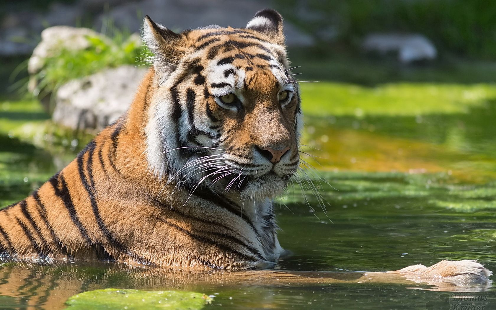 94285 download wallpaper Animals, Tiger, Big Cat, Striped, Muzzle, Predator, Water, To Swim, Swim screensavers and pictures for free