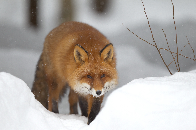 139141 скачать обои Животные, Лиса, Снег, Лес, Зима - заставки и картинки бесплатно
