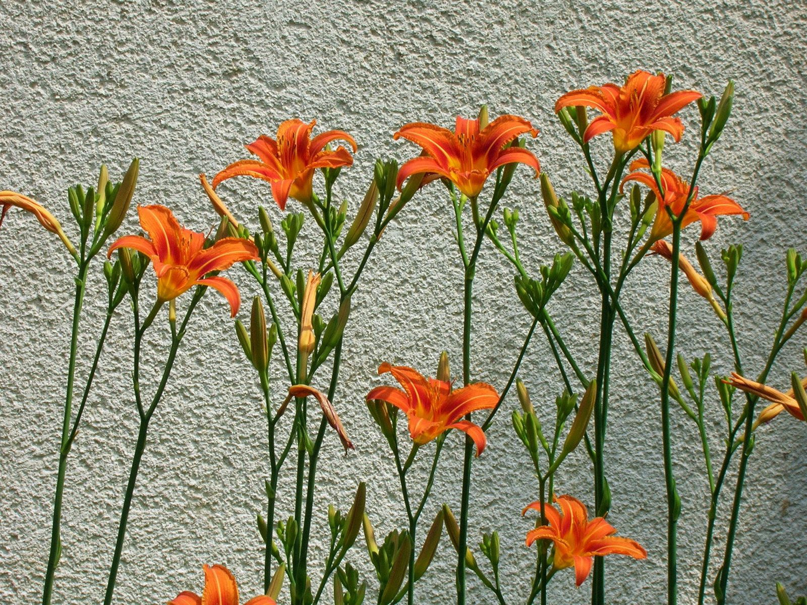 101770 скачать обои Лилии, Цветы, Стена, Ряд - заставки и картинки бесплатно