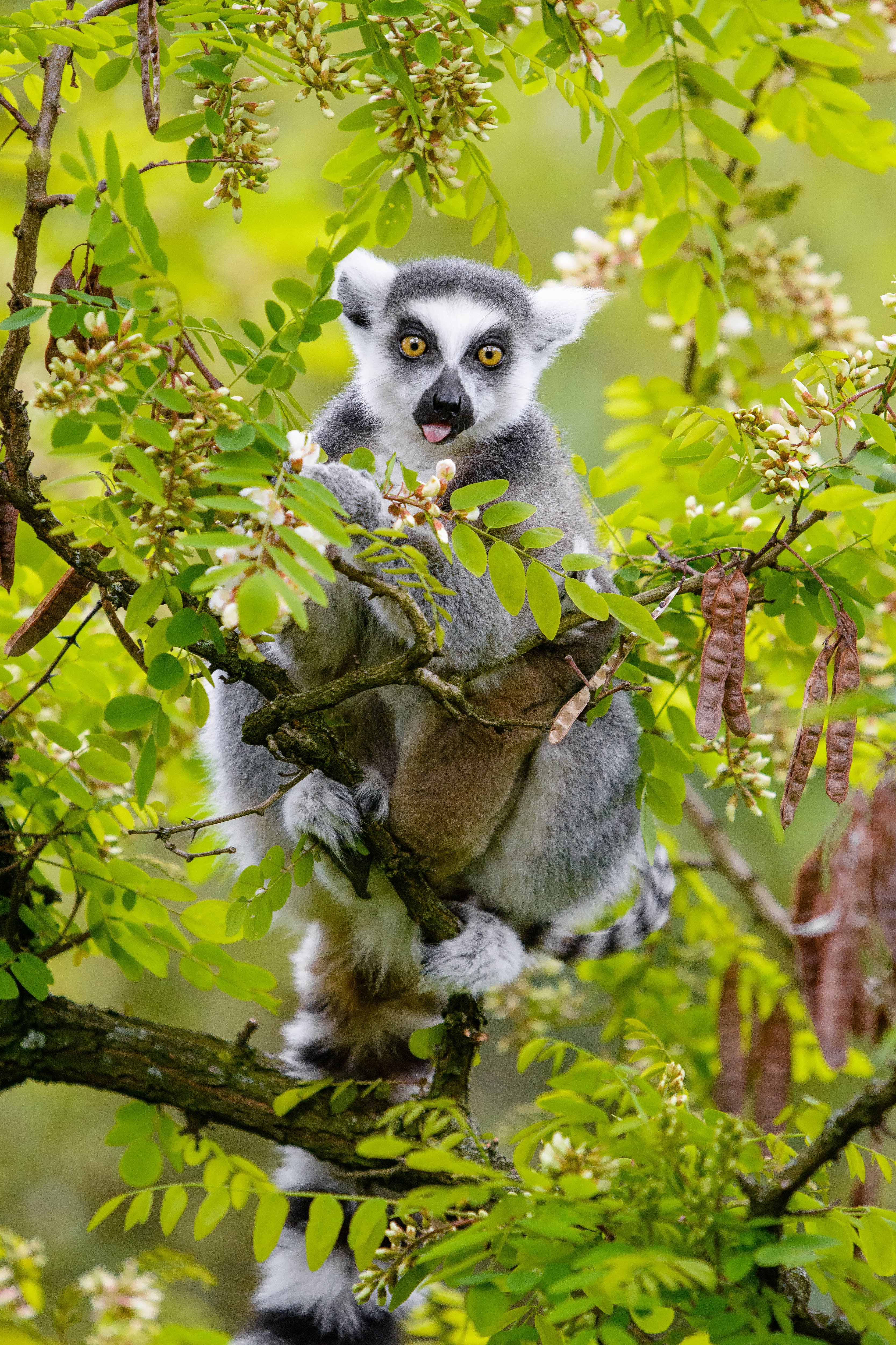 68409 download wallpaper Animals, Lemur, Wood, Tree, Branches, Animal, Funny, Protruding Tongue, Tongue Stuck Out screensavers and pictures for free